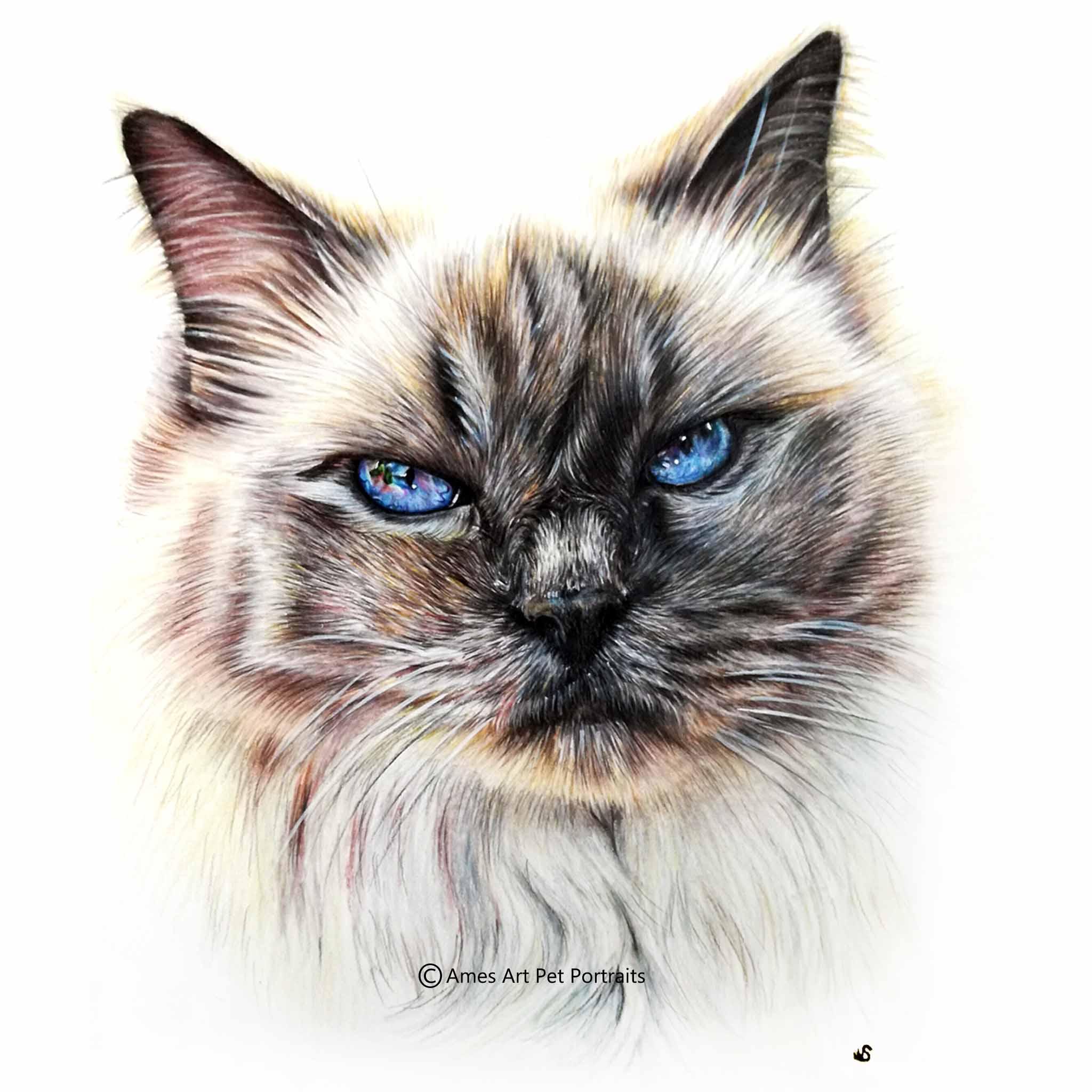 'Moet' - AUS, 11.7 x 8.3 inches, 2017, Colour Pencil Cat Portrait