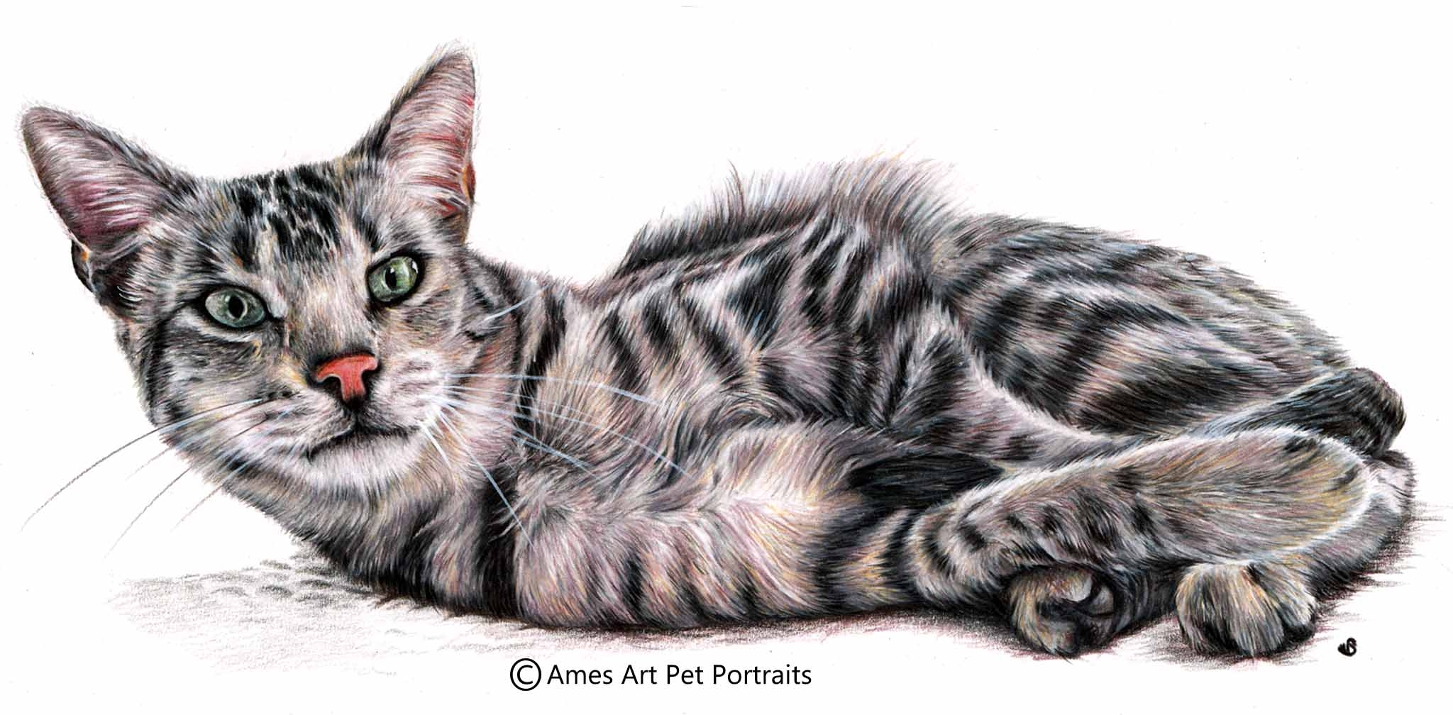 Color pencil portrait of silver tabby cat by sema martin in utah usa