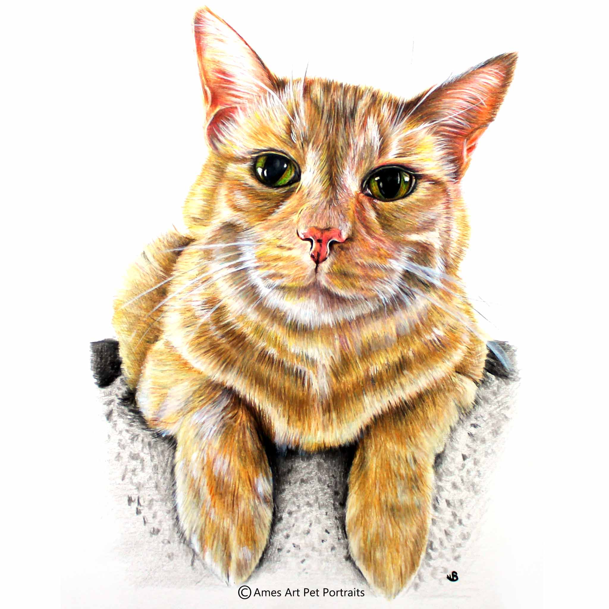 color pencil cat portrait of smiling ginger tabby cat from wyoming usa by sema martin pet portrait artist
