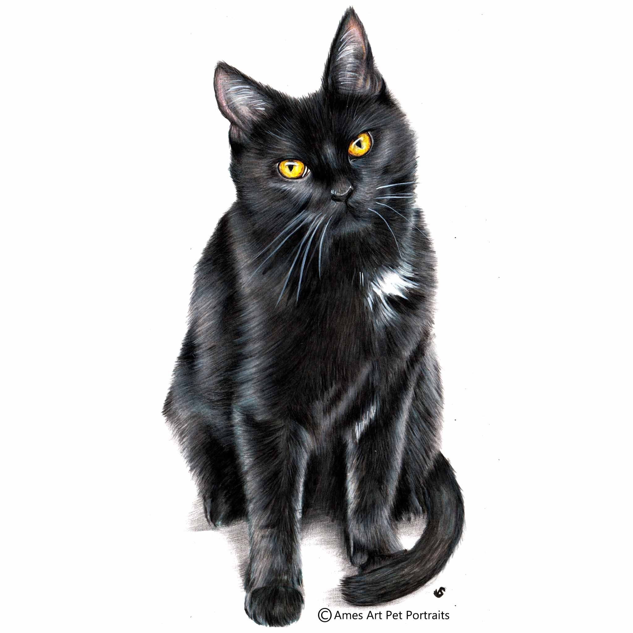 color pencil cat portrait of black cat with white chest in wisconsin usa by artist sema martin
