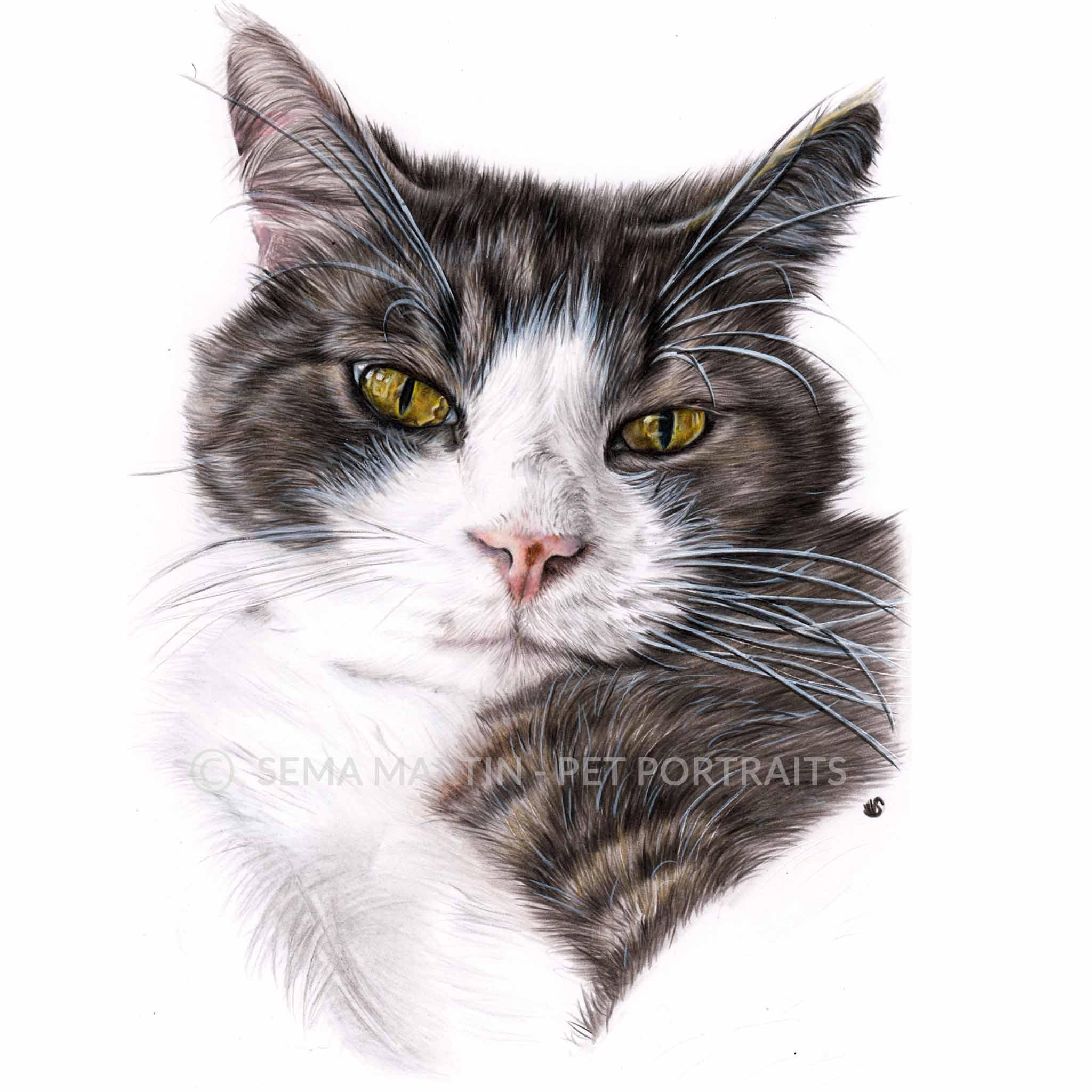'Ollie' - Australia, 8.3 x 11.7 inches, 2018, colour pencil cat pet portrait by artist sema martin