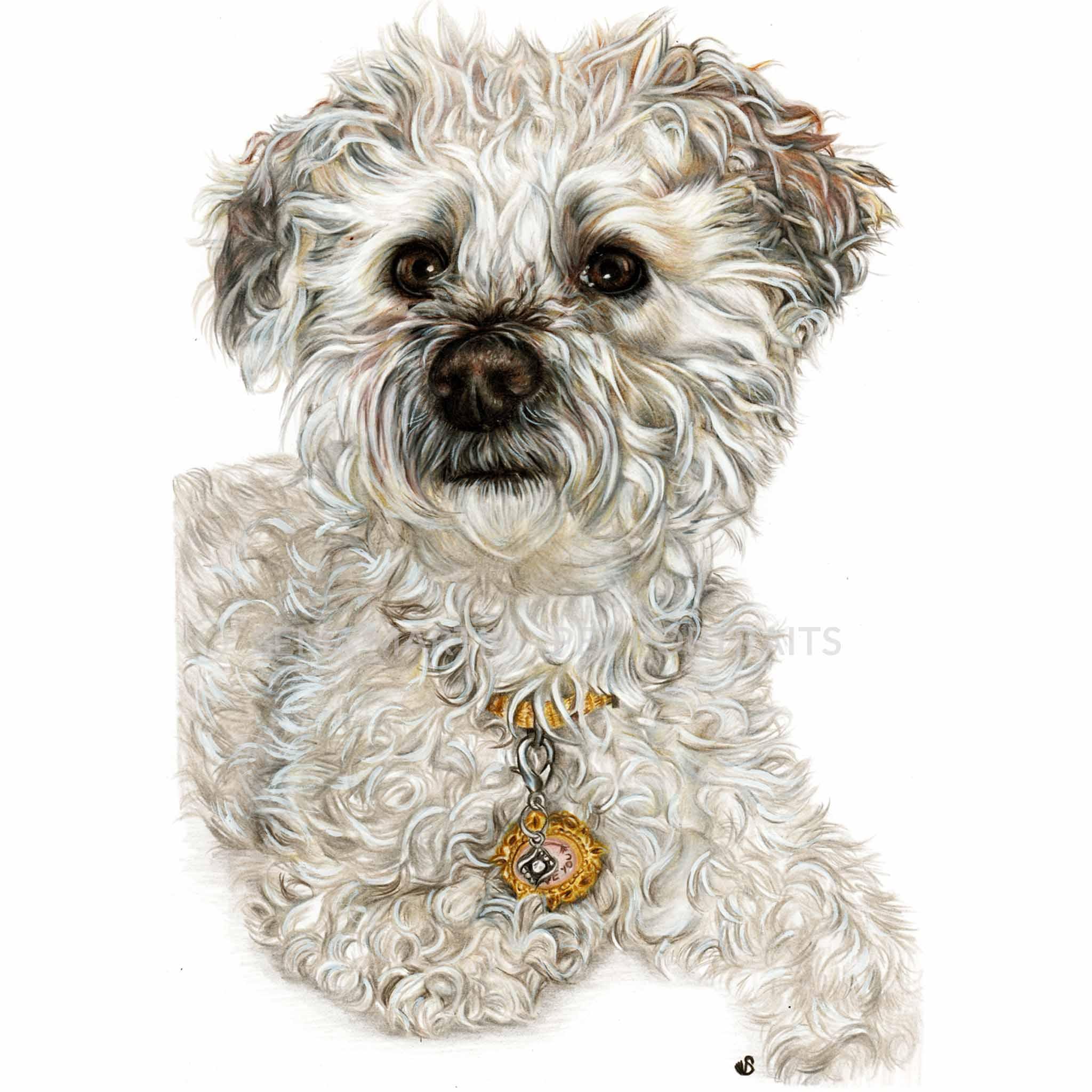 color pencil pet portrait of dog Yorkiepoo by artist sema martin