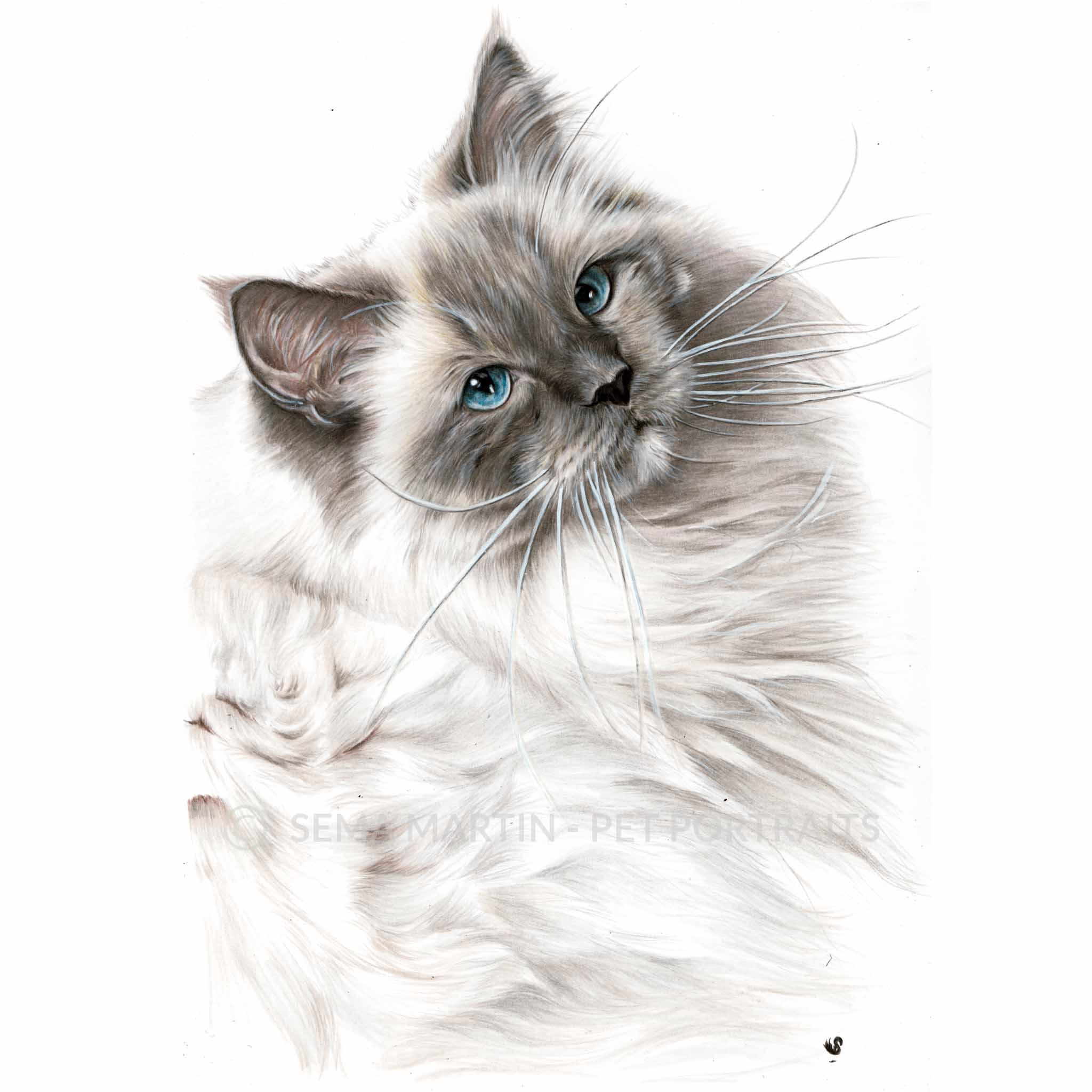 'Pierre' - USA, 8.3 x 11.7 inches, 2018, Colored Pencil Ragdoll Cat Portrait