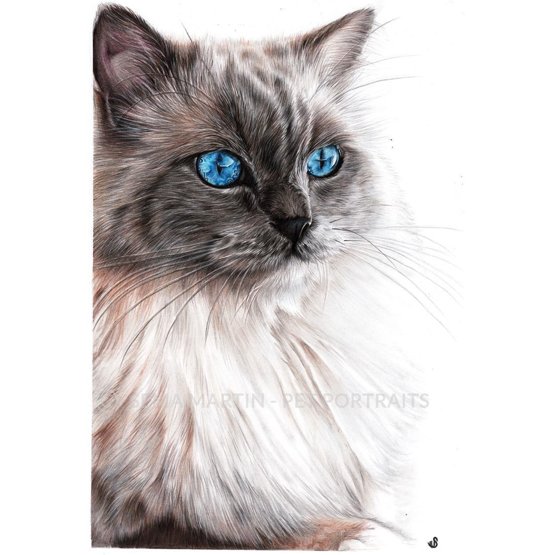 'Marvel' - Belgium, 8.3 x 11.7 inches, 2019, Colour Pencil Portrait of Ragdoll Cat