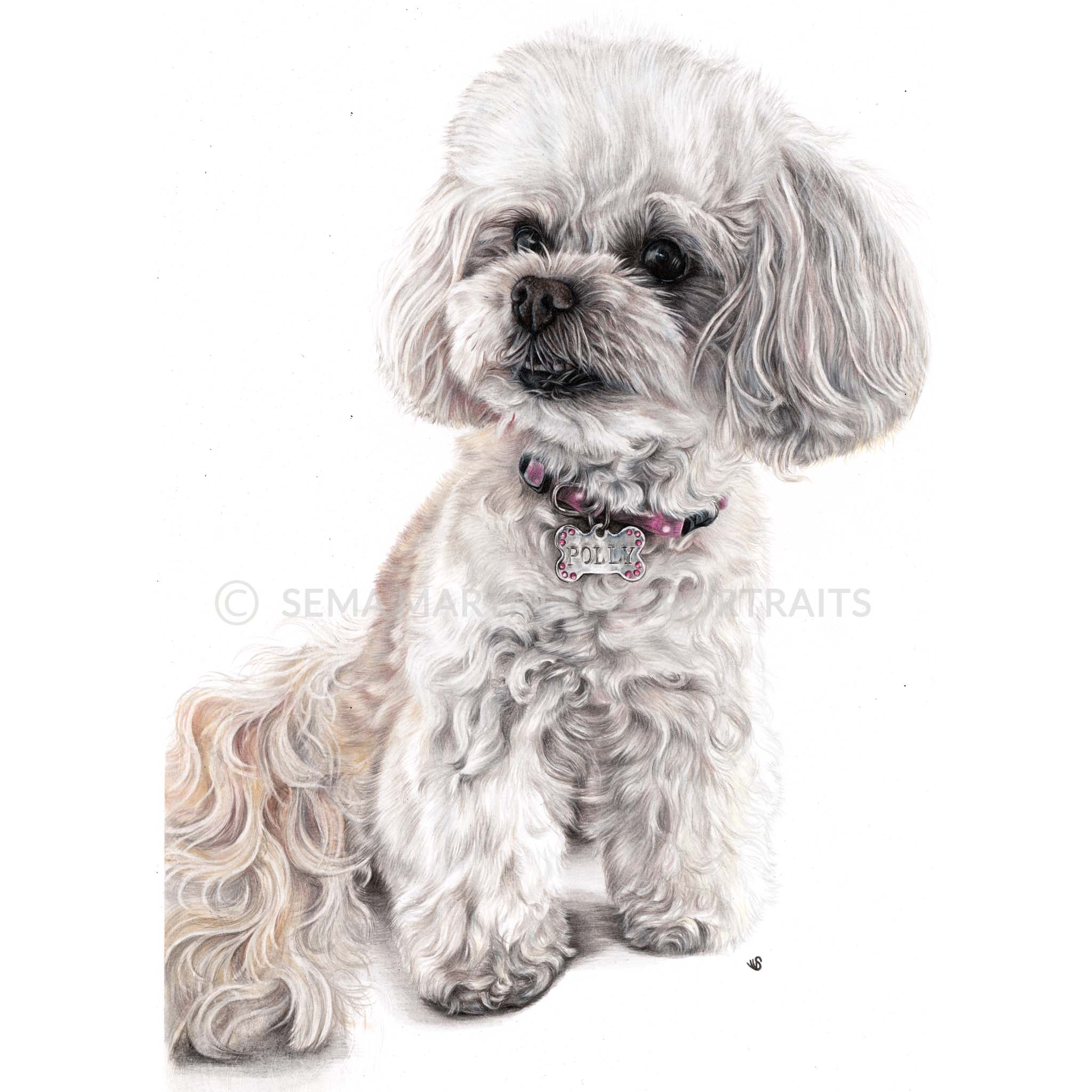 'Polly' - Australia, 16.5 x 11.7 inches, 2019, Colour pencil portrait of a chinpoo