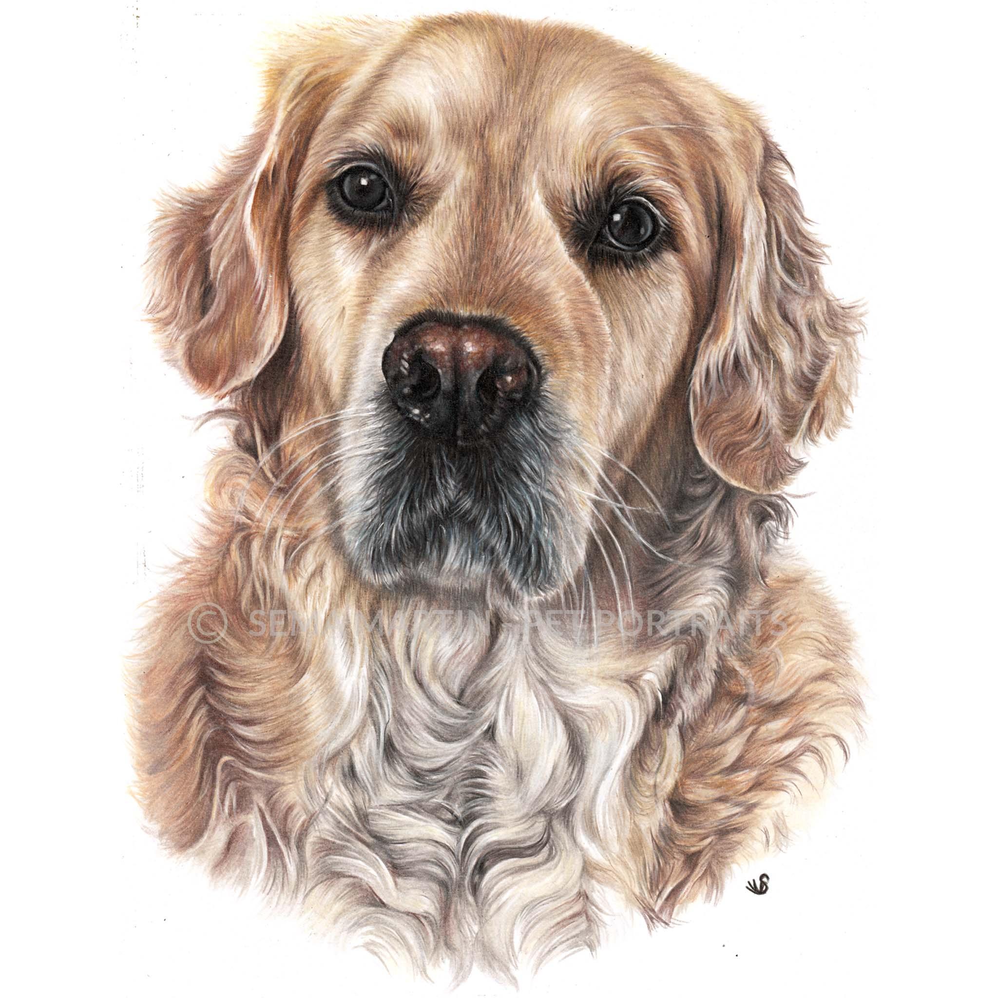 'Harvey' - UK, 8.3 x 11.7 inches, 2019, Colour pencil pet portrait of Golden Retriever