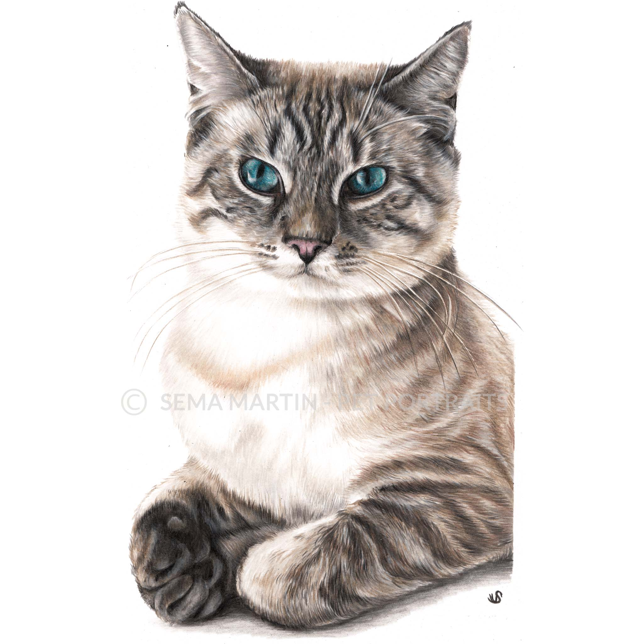 'Tiger' - USA, 8.3 x 11.7 inches, 2019, Color Pencil Portrait of a Lynx Point Siamese Cat