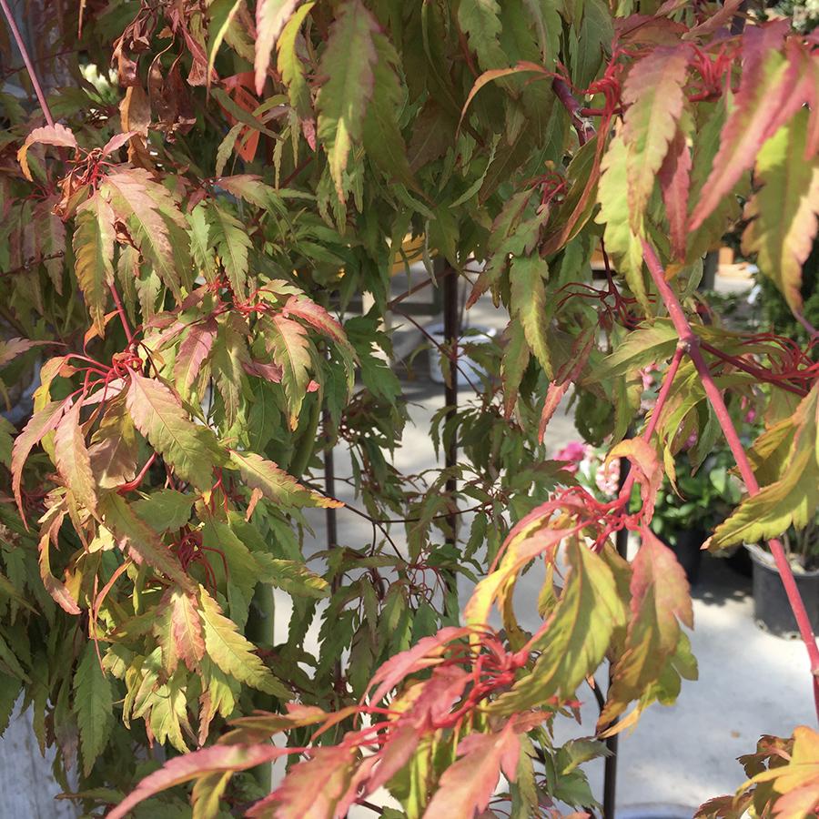 Acer palmatum 'Beni hagoromo'