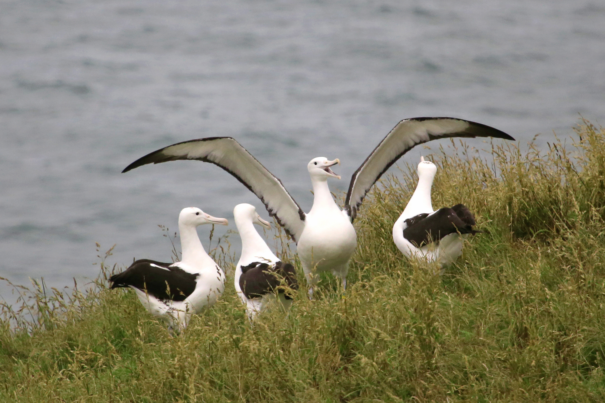 Royal Albatross Colony.jpg