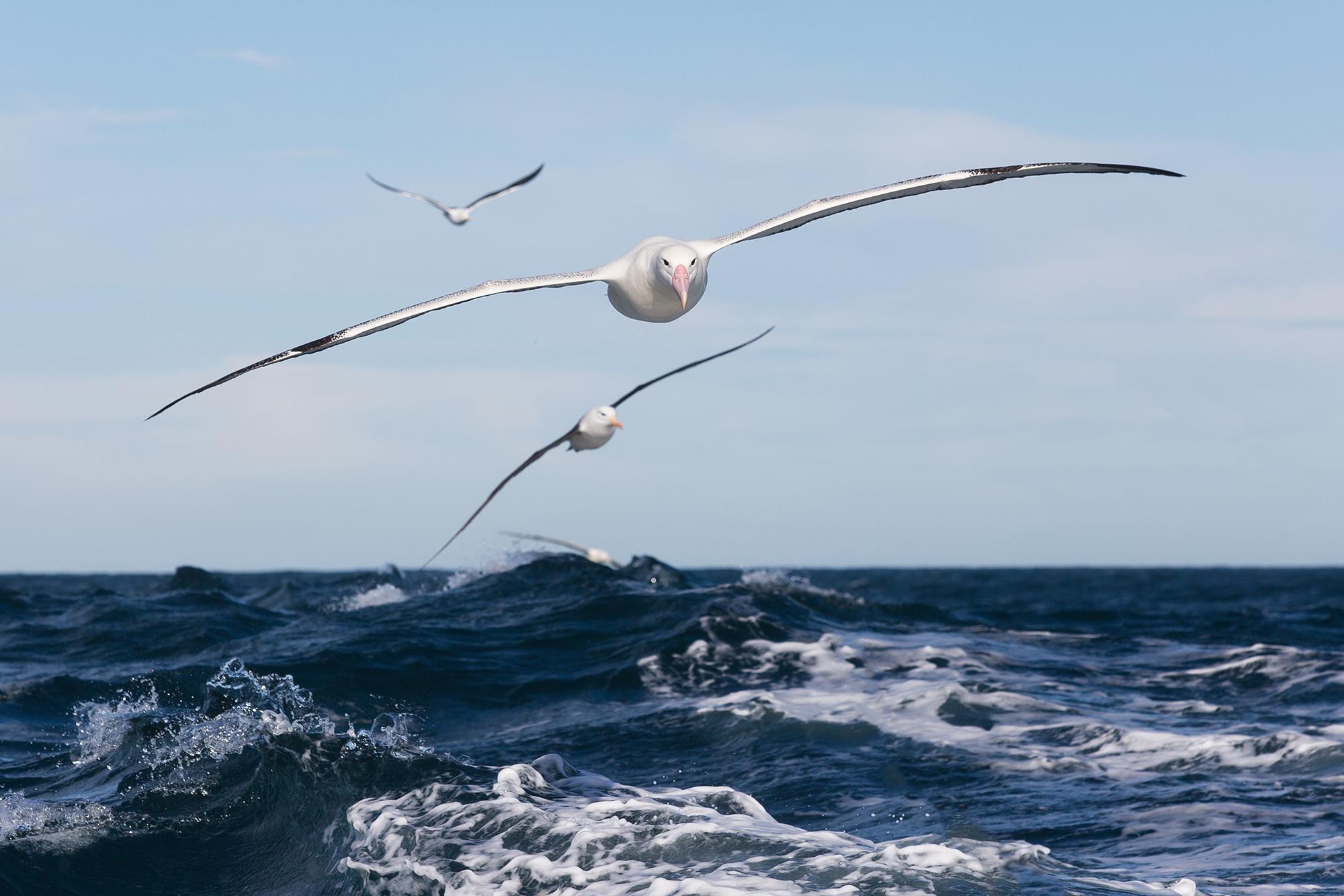 Southern Royal Albatrossa.jpg