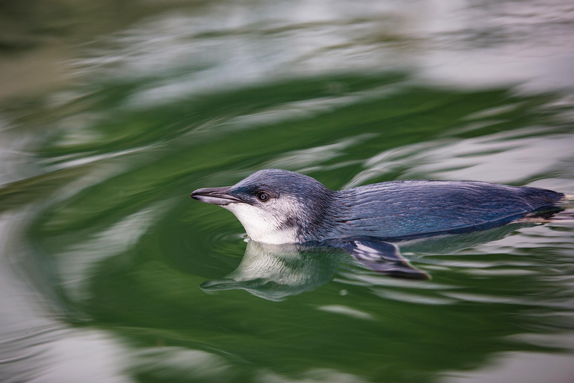 Blue Penguina.jpg