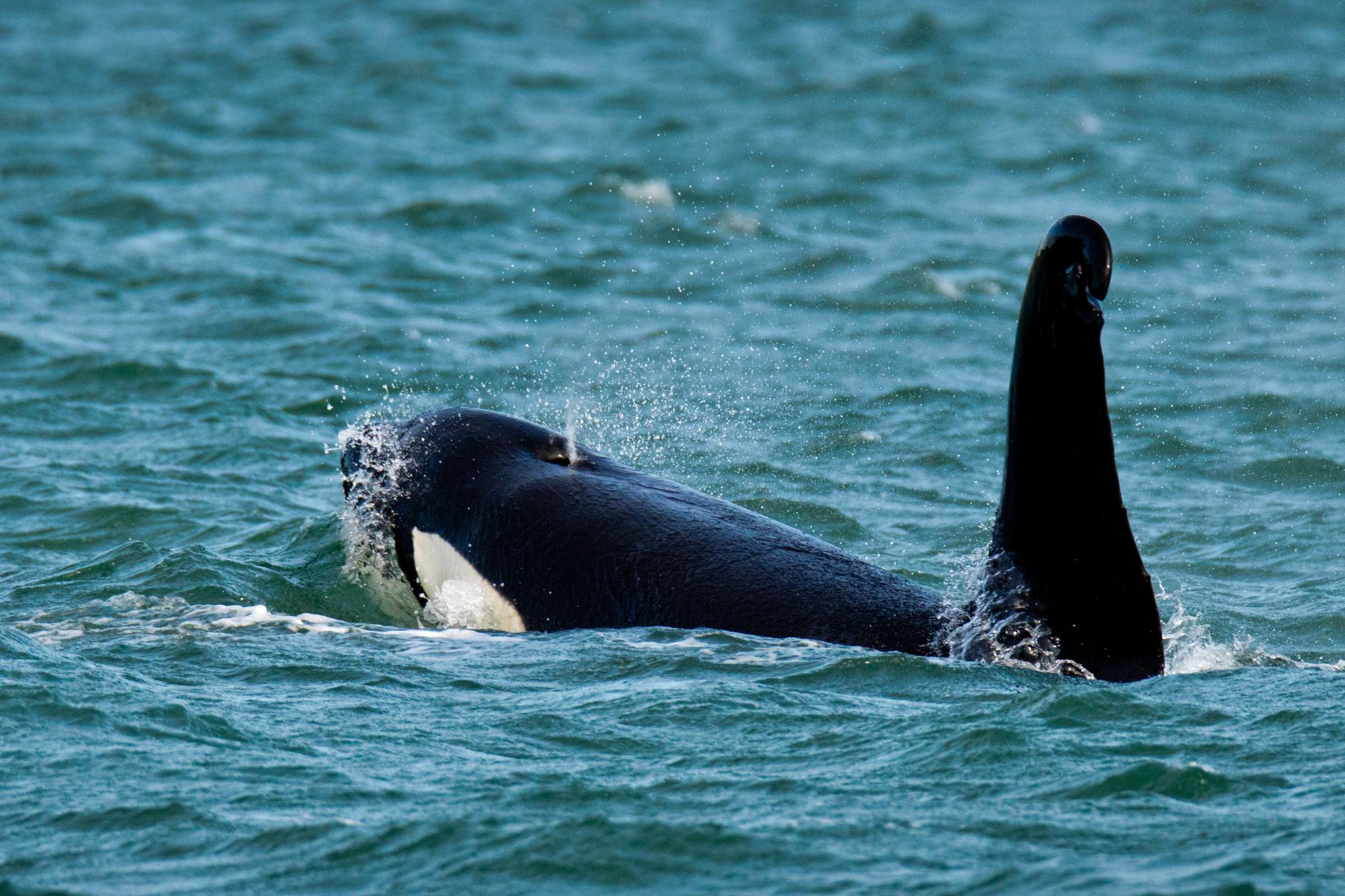 Orca-4a.jpg