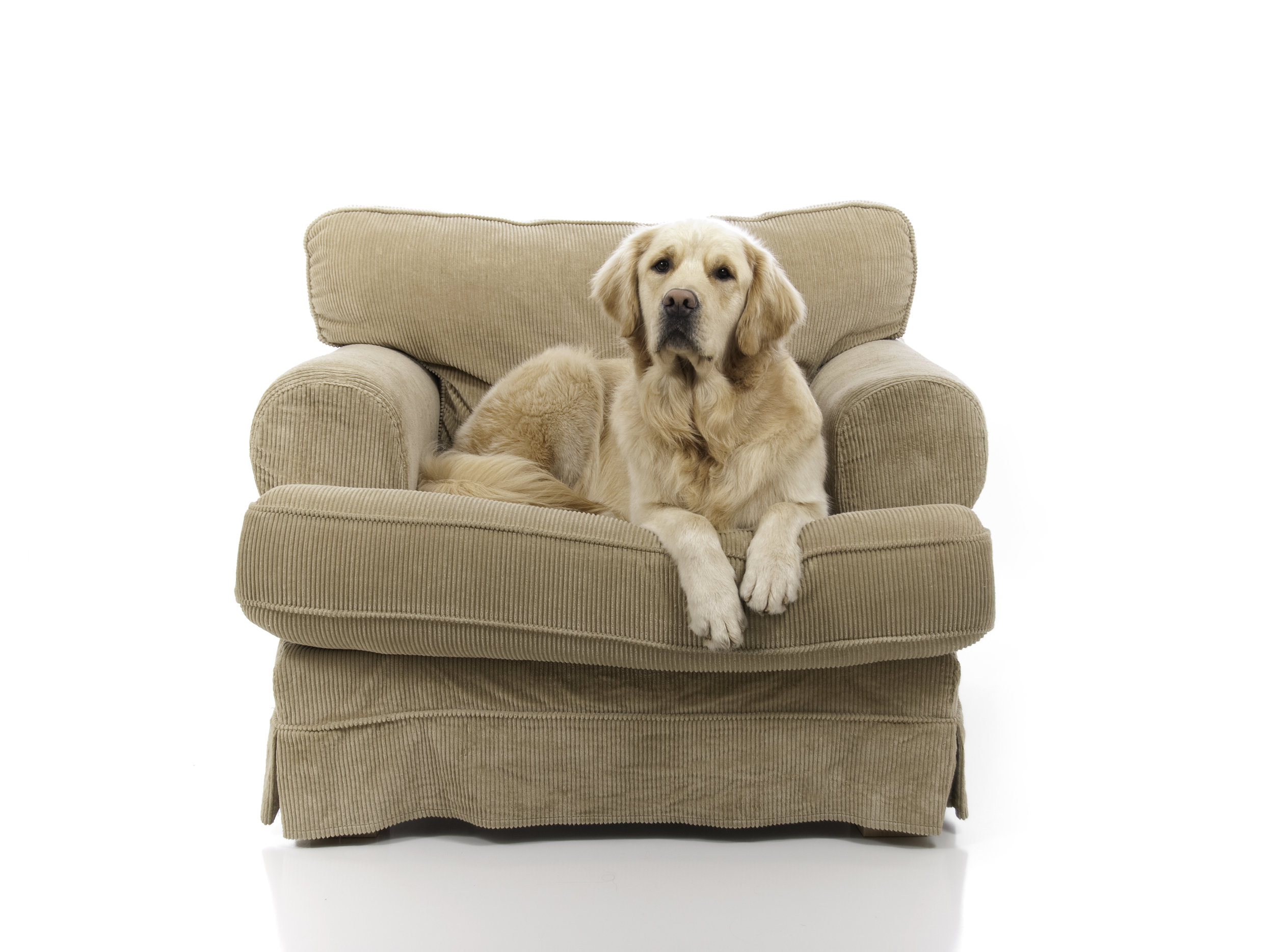 Golden Retriever in Armchair.jpg