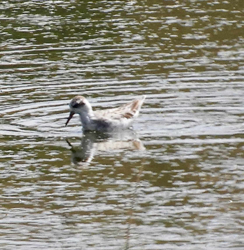 Red phalarope in non-breeding plumage. Photo by Mary Feliz