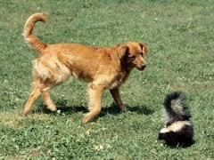 Skunk+and+Golden+Retriever.jpg