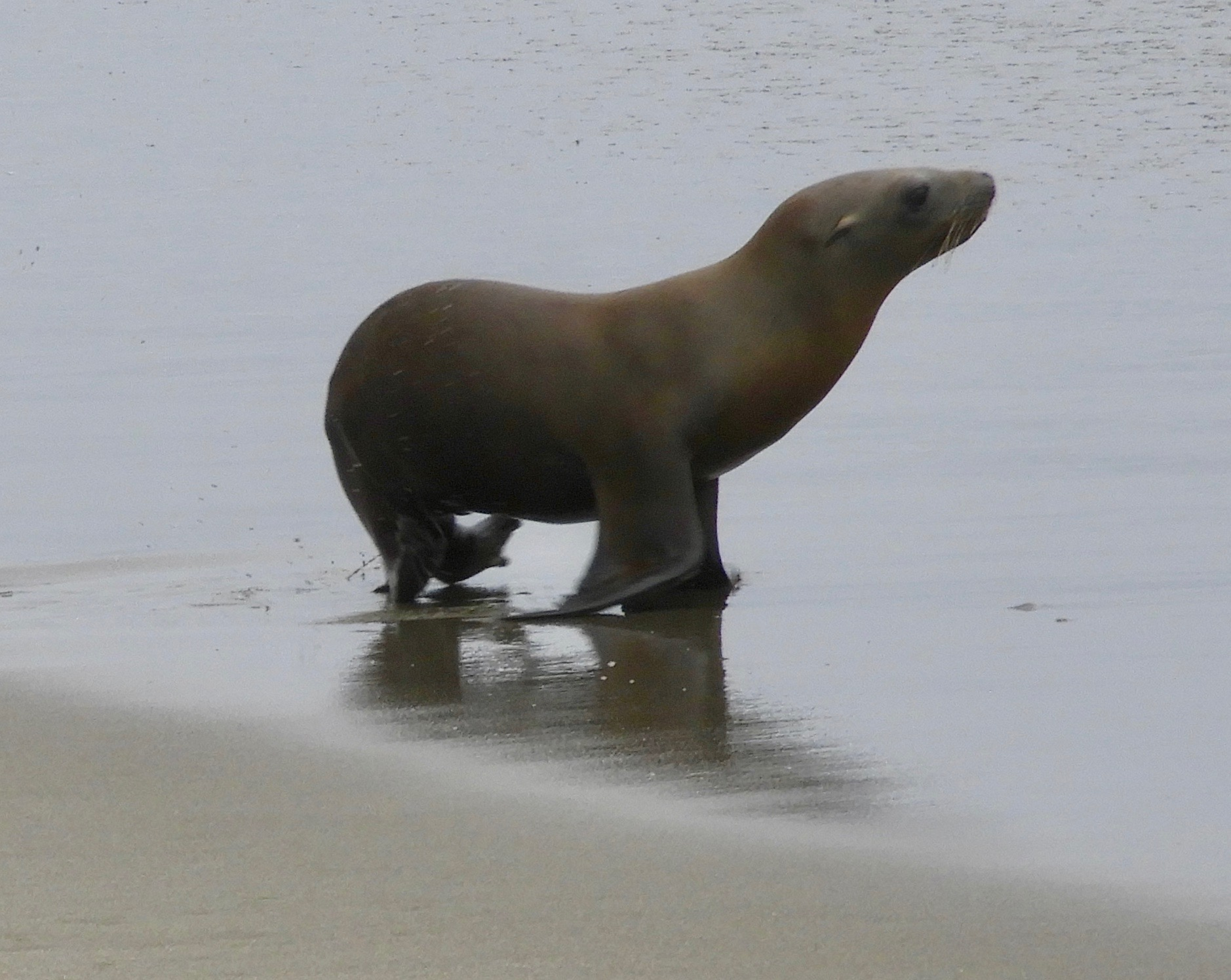 This underweight yearling California Sea Lion came ashore on a busy beach and was later picked  up by the Marine Mammal Center. (Photo by Mary Feliz)