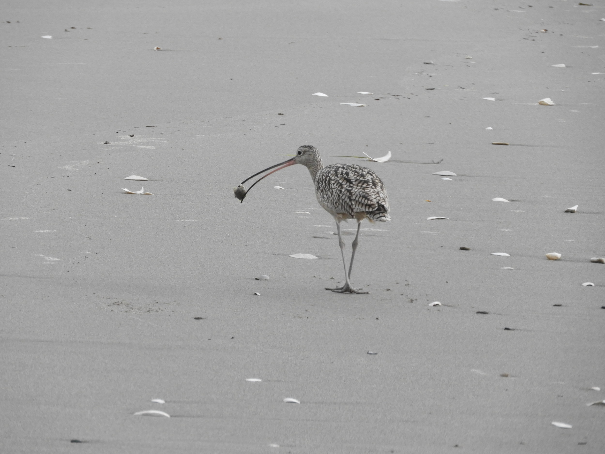 Curlew with food.