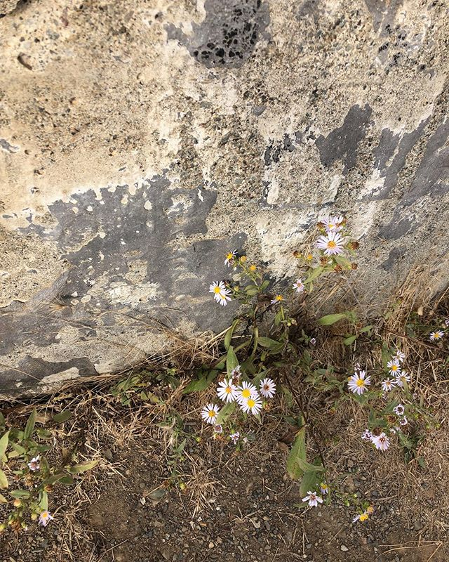 These humble and gentle but also hardy asters growing against the aged concrete wall speak to me. They want to feel the warm sun on their petals. They want to be seen and to bring beauty in to the harsh environment they face.