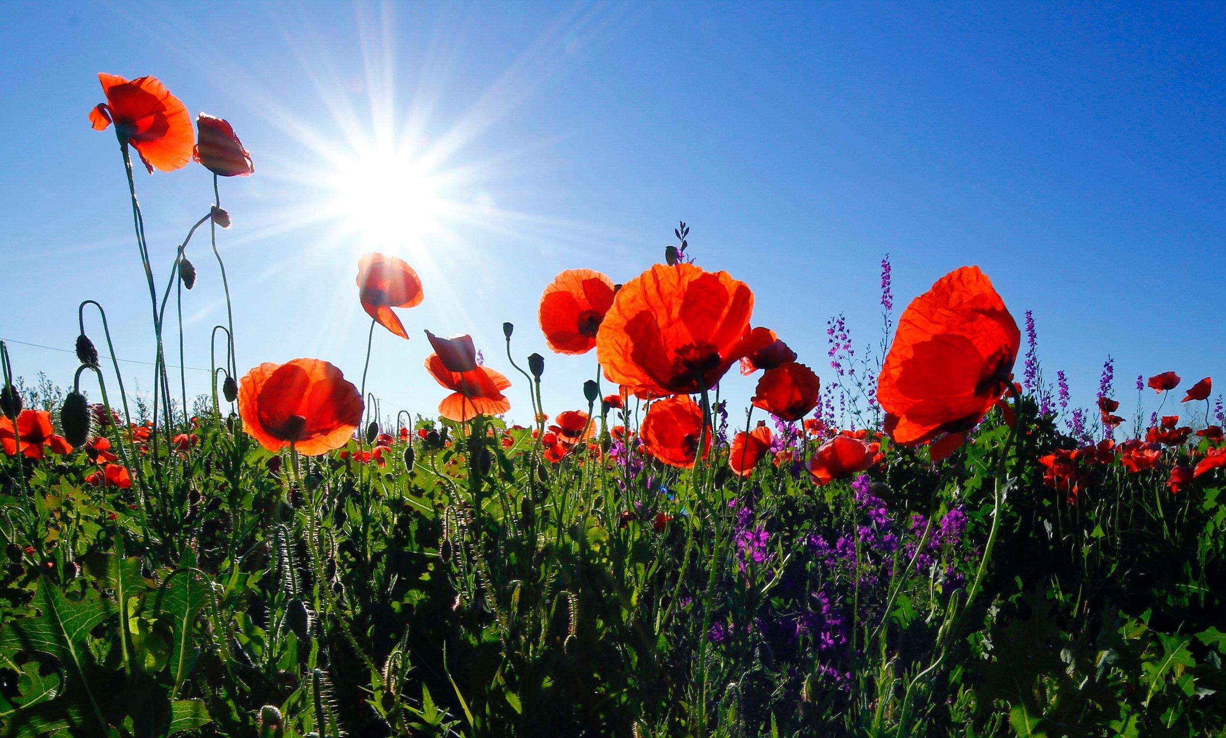 poppys with sky.jpg