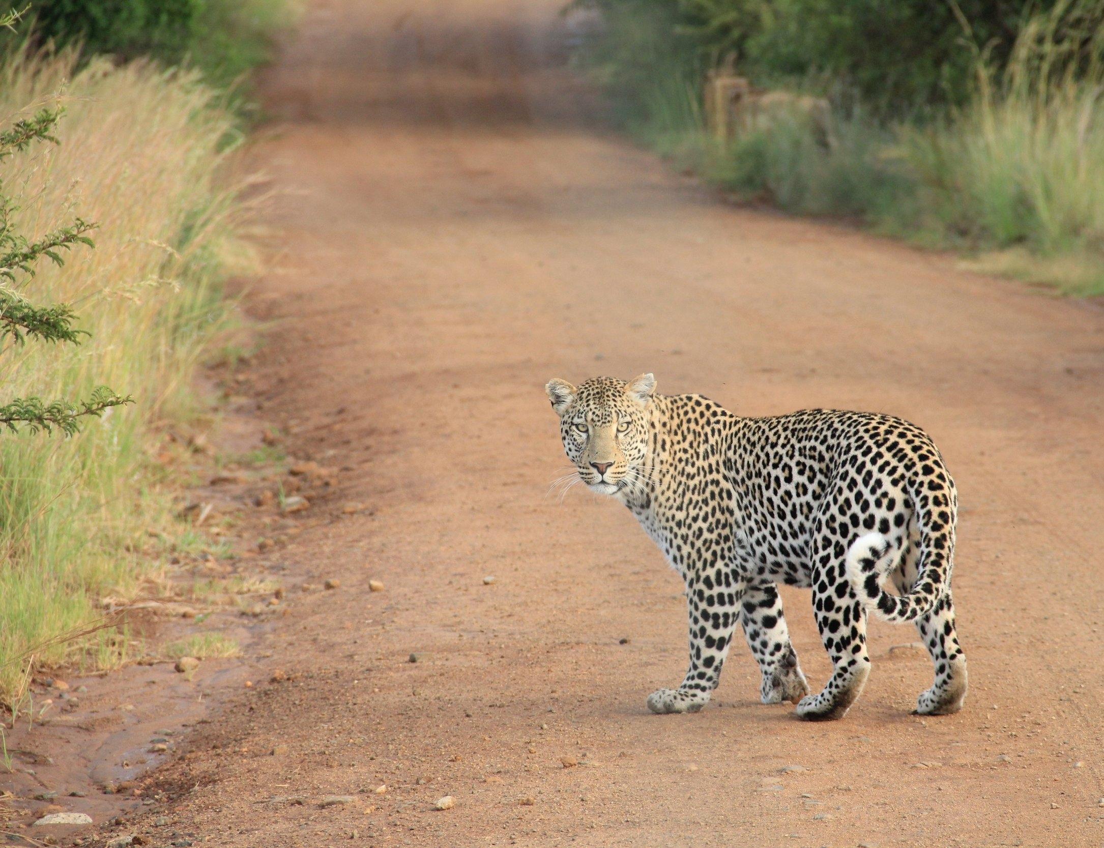 leopard on path.jpg
