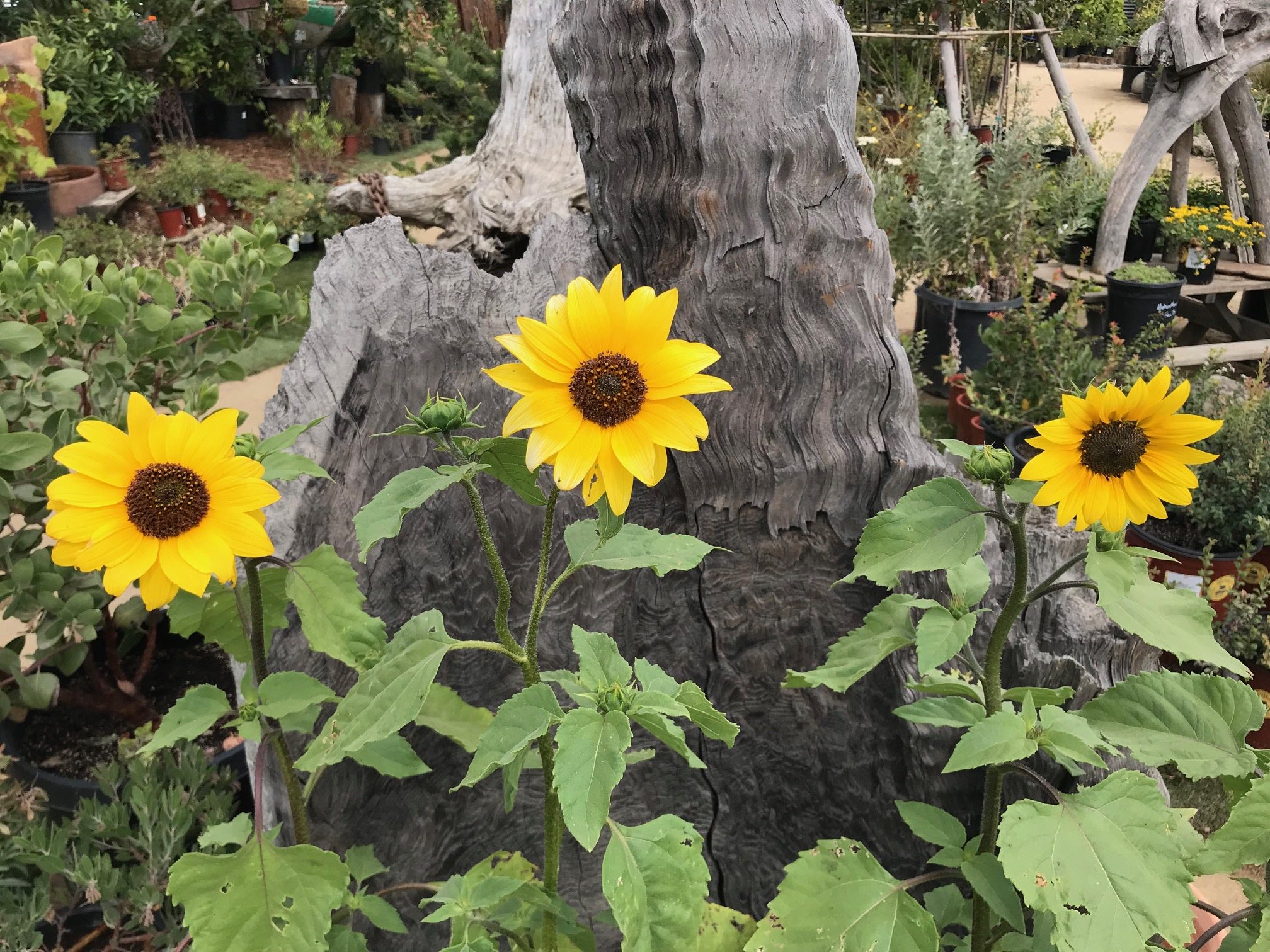 Helianthus annuus 'Delta Sunflower'