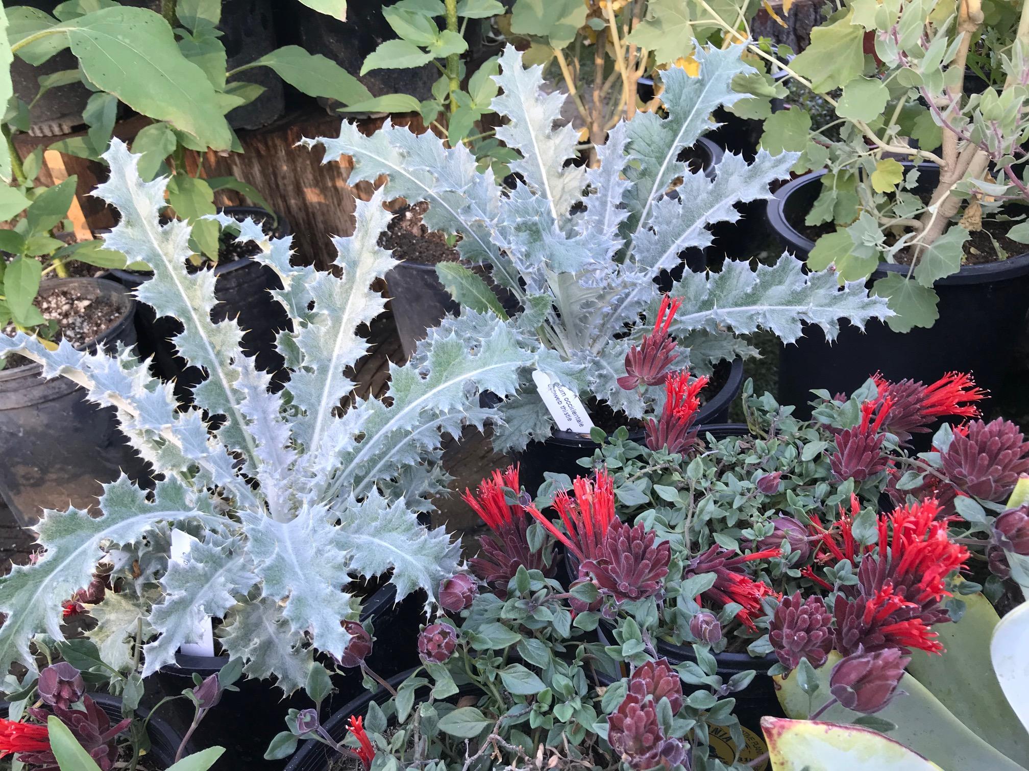 Cirsium occidentale 'Cobweb Thistle' & Monardella macrantha 'Red Monardella'