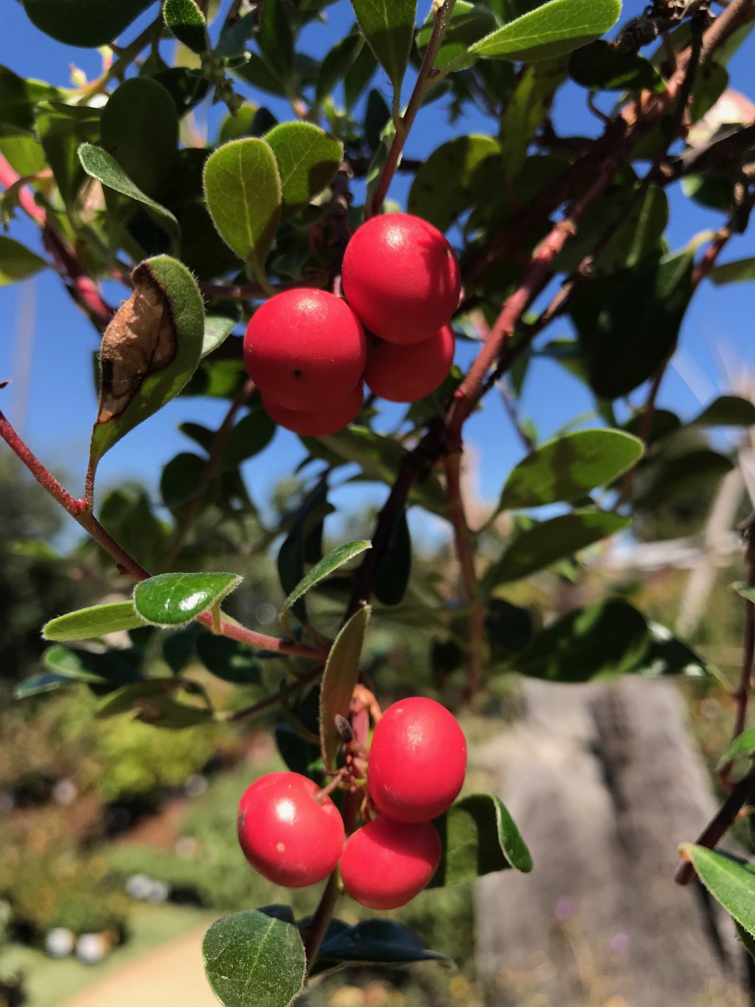 Arctostaphylos uva-ursi 'San Bruno Mountain'