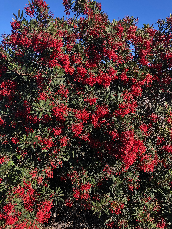 Heteromeles arbutifolia 'Toyon'