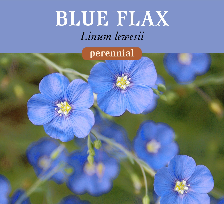 blue_flax.jpg
