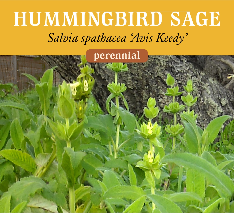 hum_sage_yellow-1.jpg