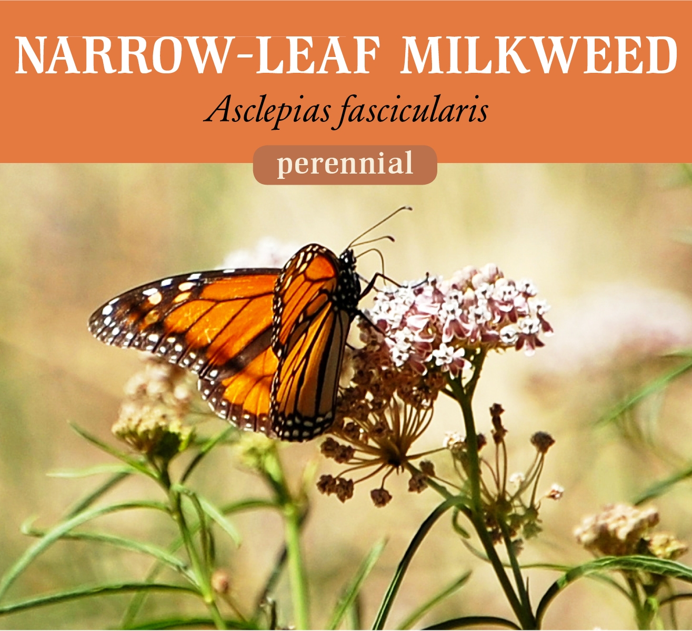 narrow_milkweed.jpg