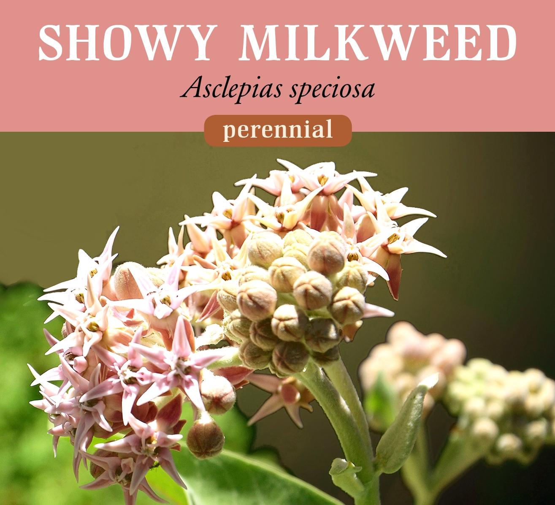 showy_milkweed_0.jpg