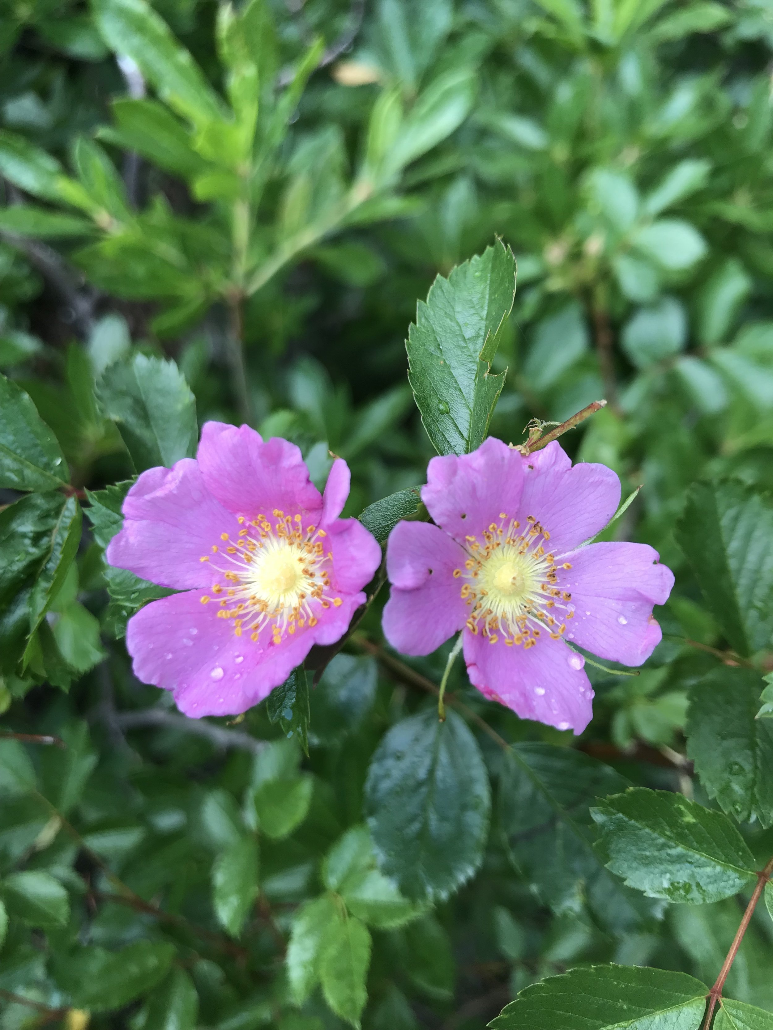 Rosa woodsii 'Woods' Rose'