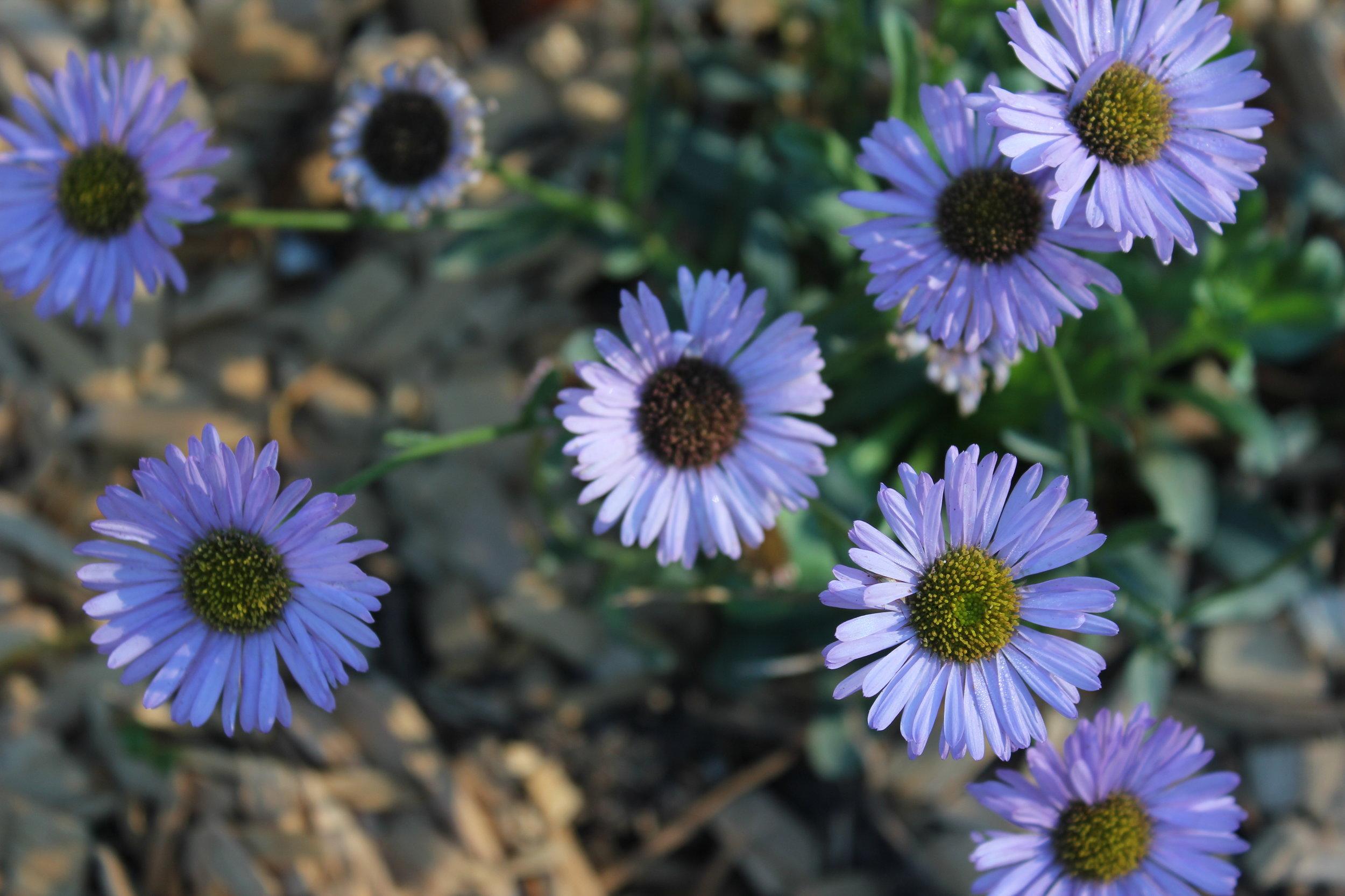 Erigeron glaucus 'Seaside Daisy'