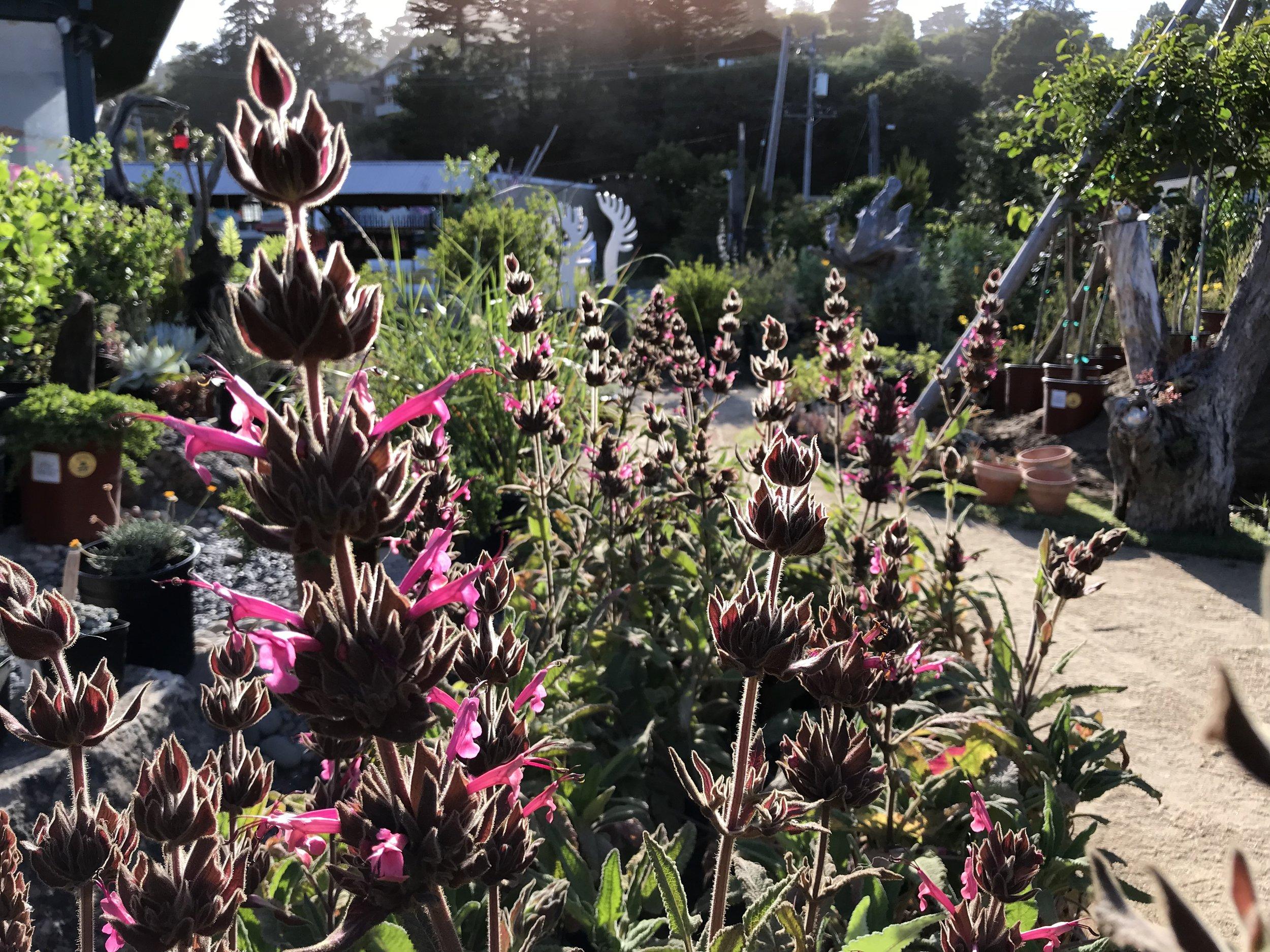 Salvia spathacea 'Hummingbird Sage'