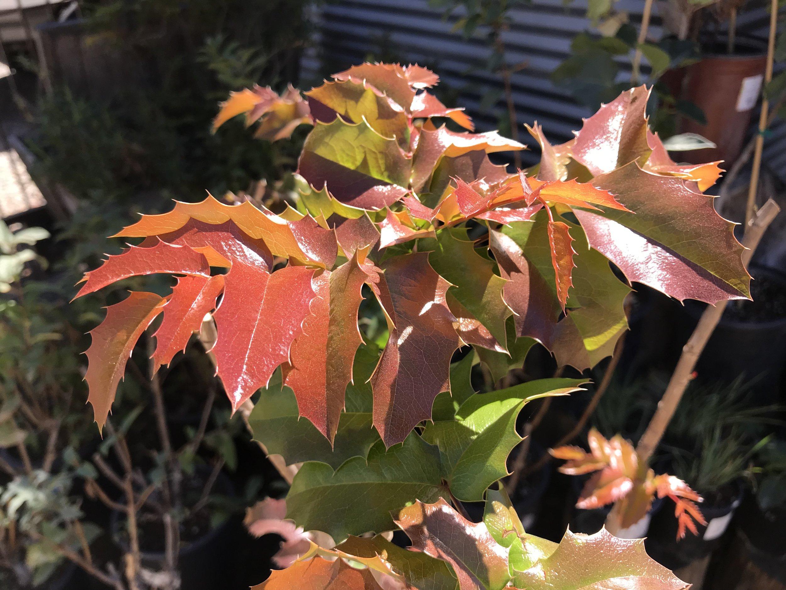 Mahonia aquafolia 'Oregon Grape' (Spring)