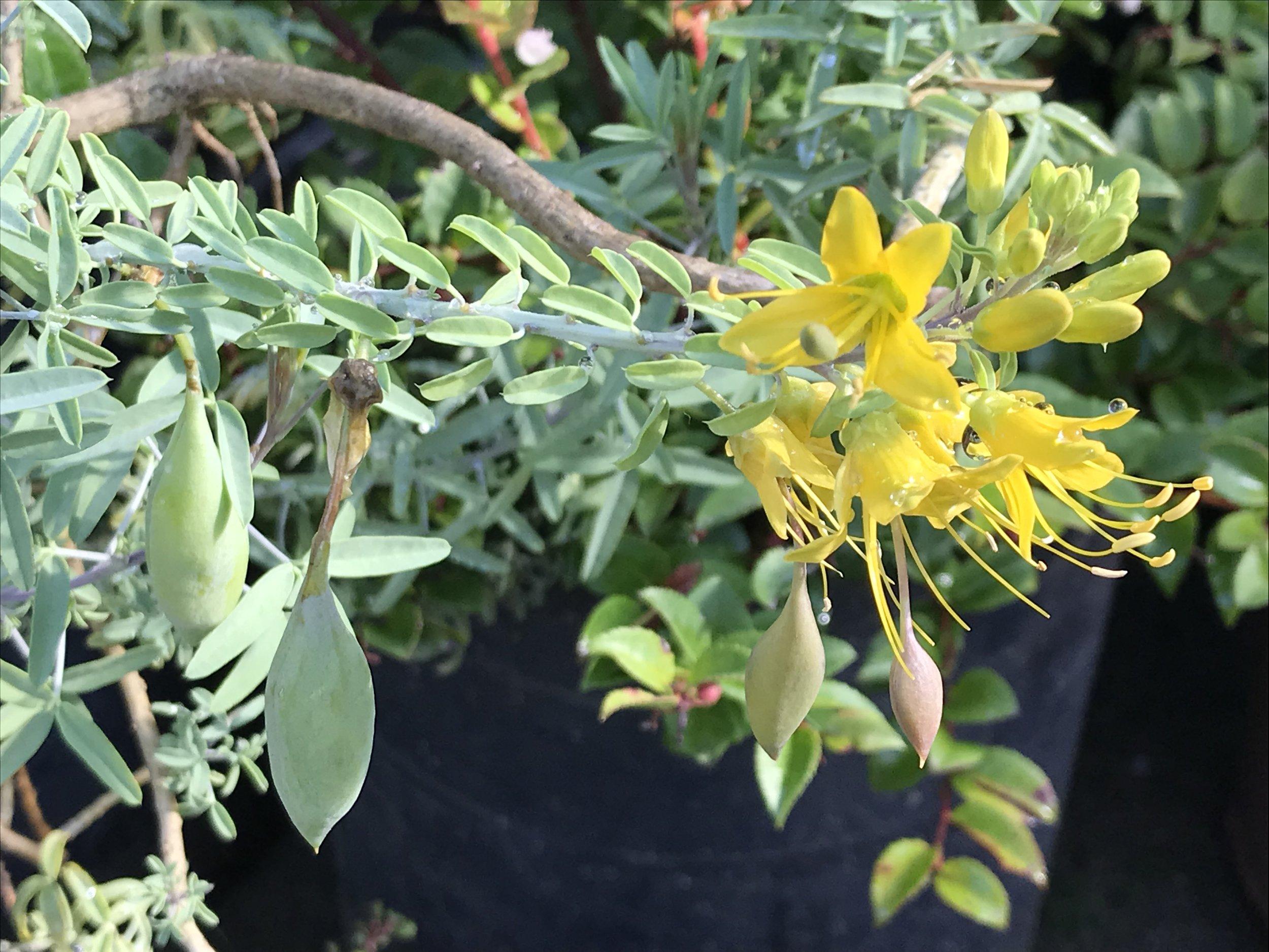 Isomeris arborea 'Bladderpod'