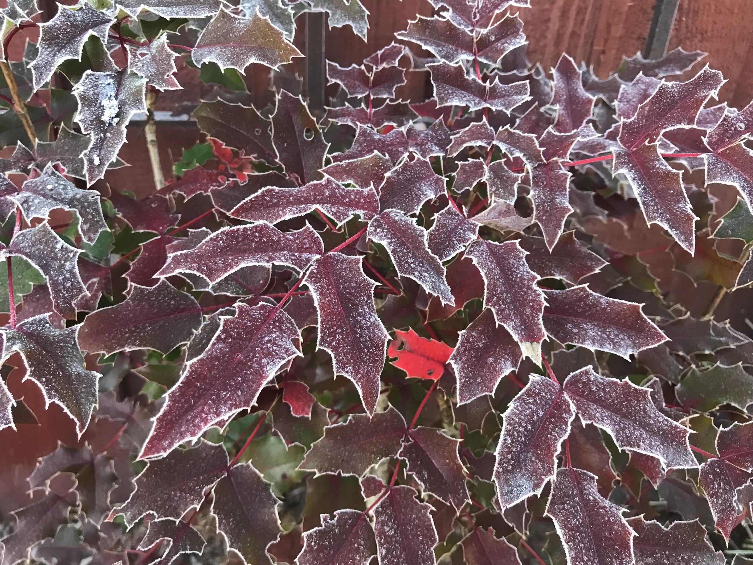 Mahonia aquafolia 'Oregon Grape' (Winter)
