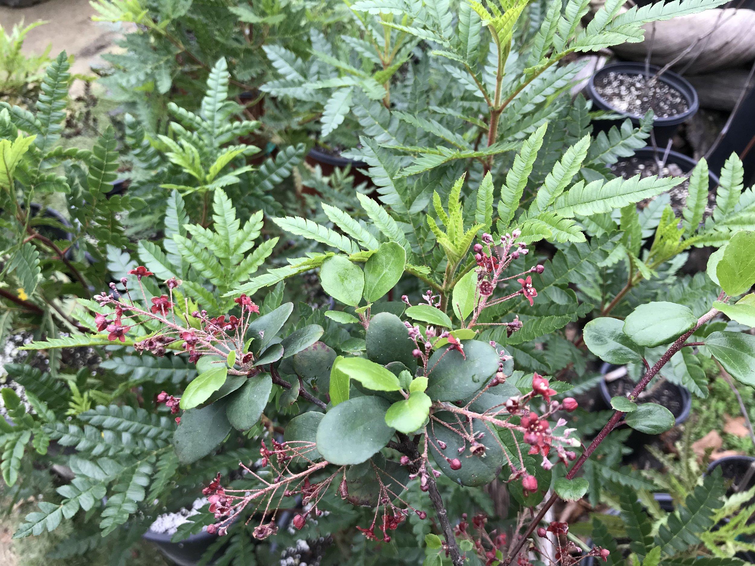 Lyonothamnus floribundus asplenifolius 'Catalina Ironwood' & Ribes viburnifolium 'Catalina Currant'