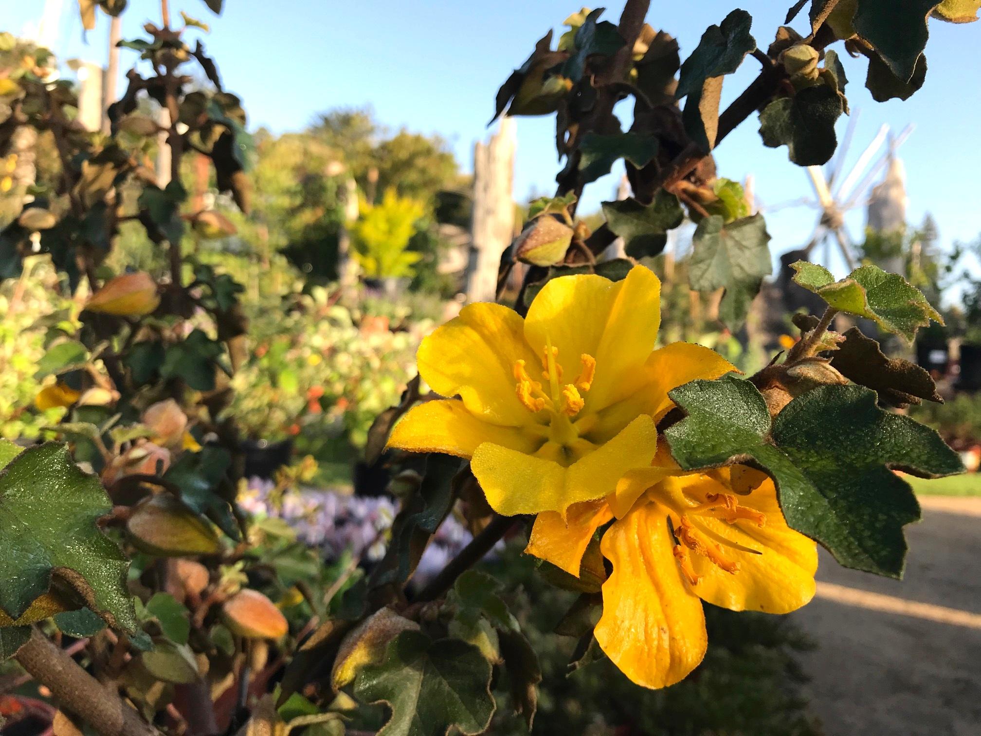 Fremontodendron californicum 'Flannelbush'