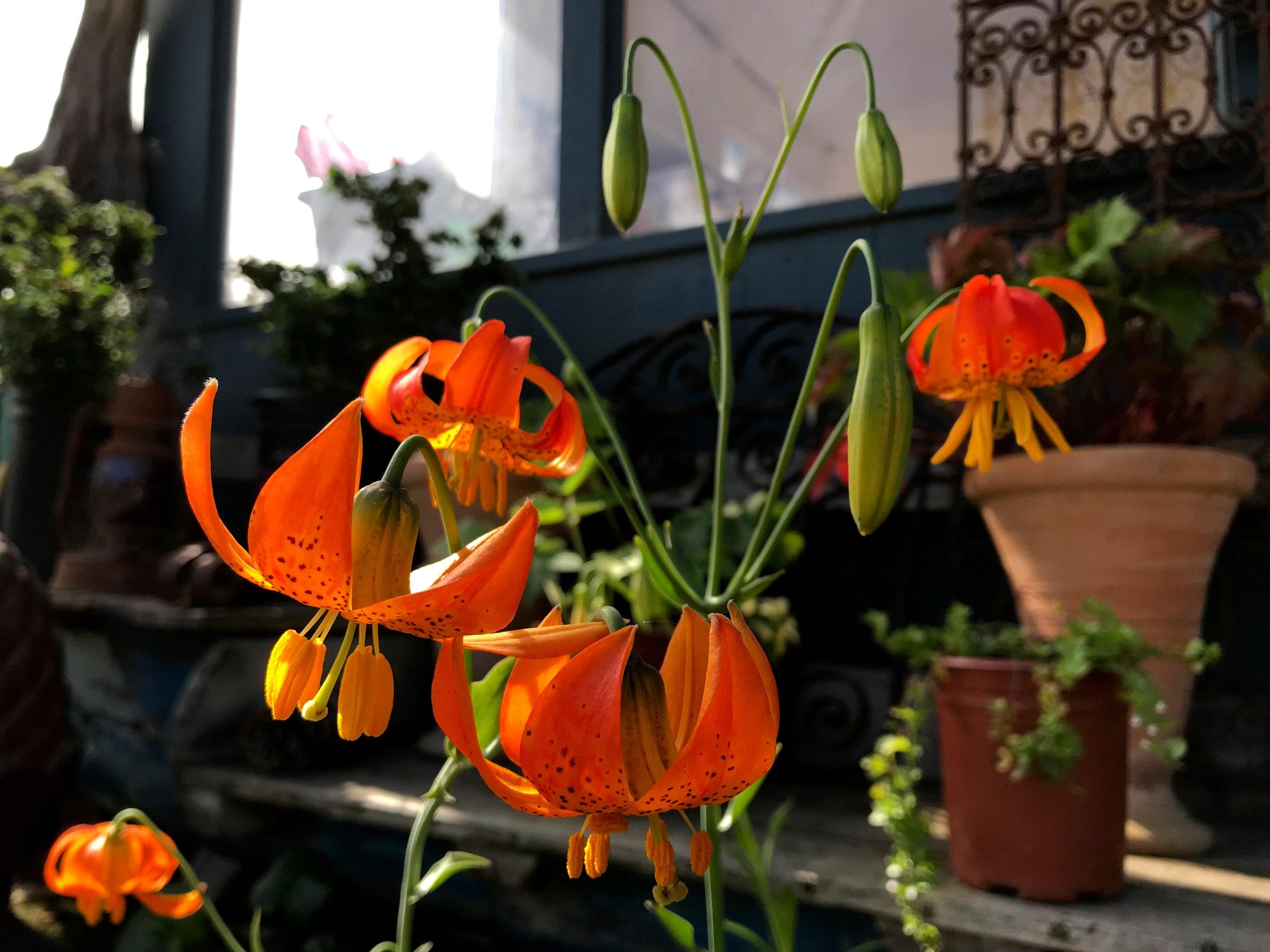 Lilium pardalinum 'Leopard Lily'