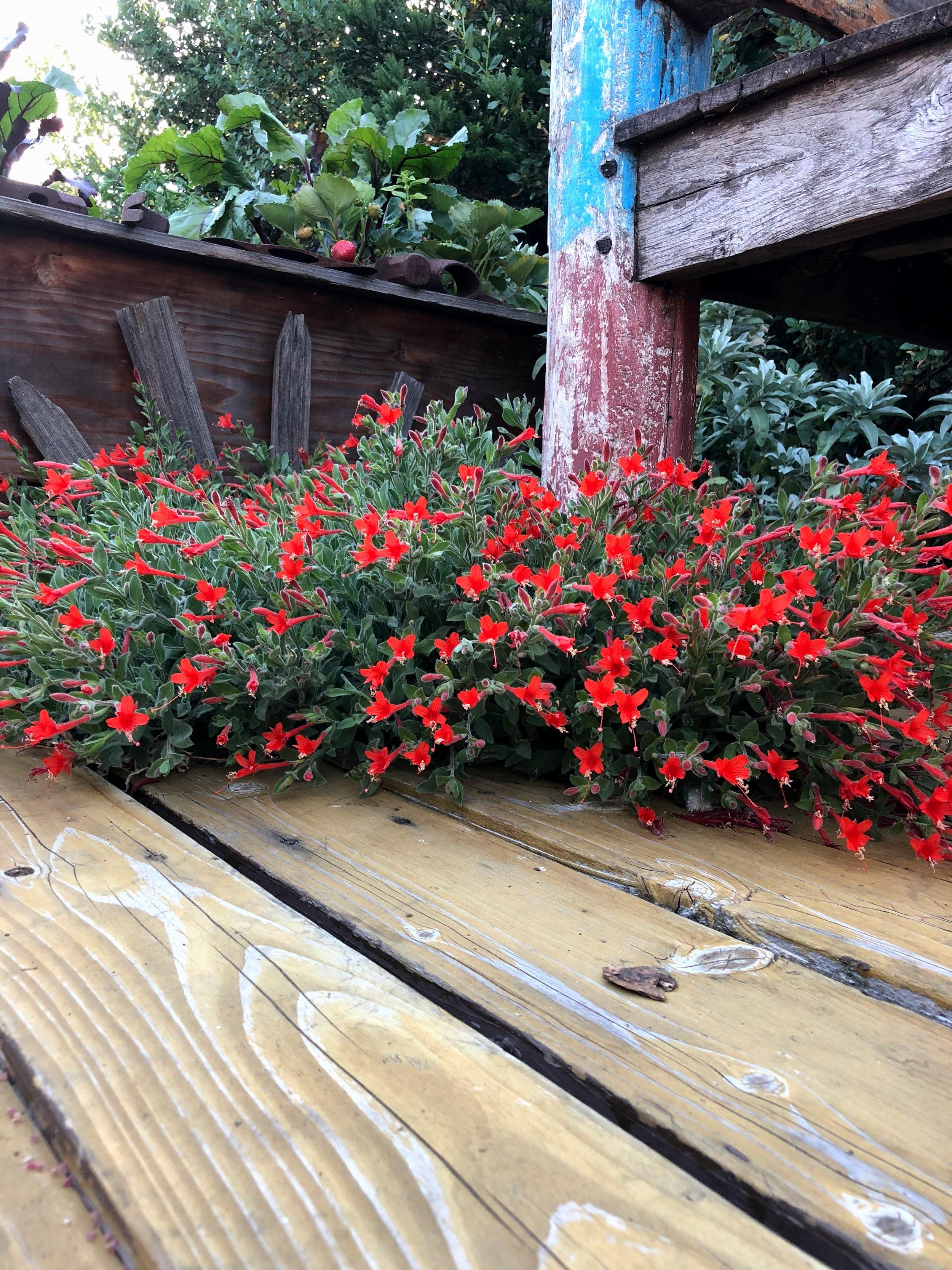 Epilobium canum 'California Fuchsia'