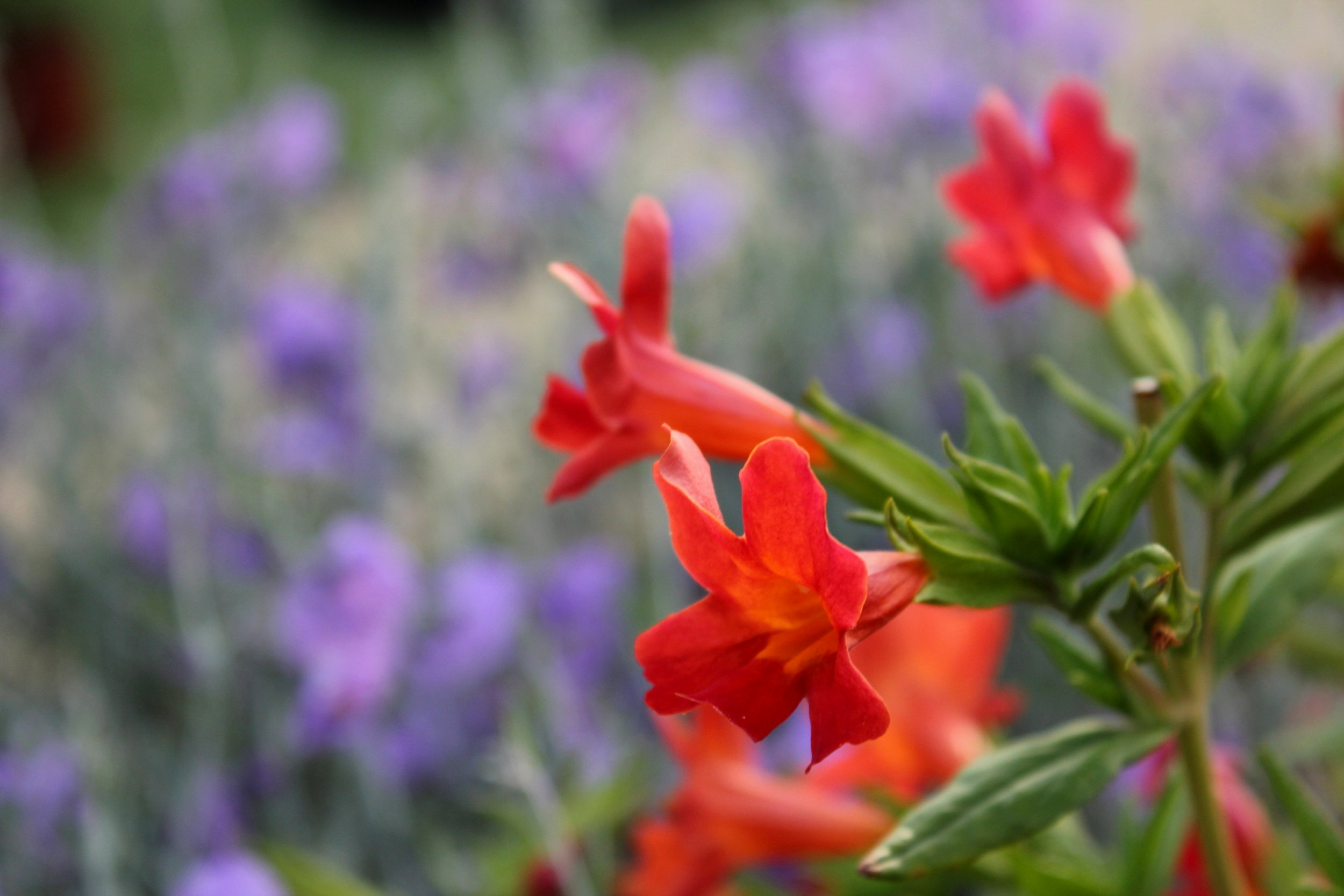 Mimulus puniccus 'Red Monkey Flower'
