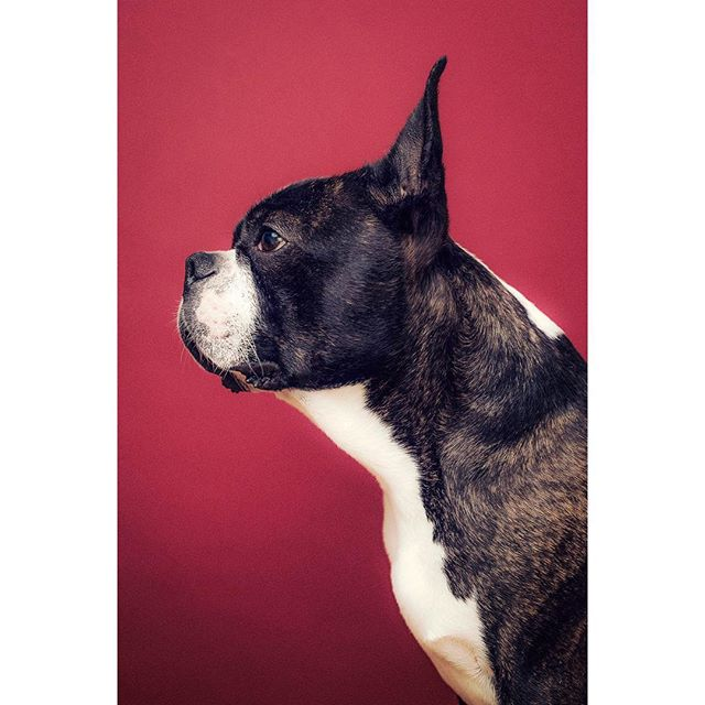 @bruno.theboston showing off his side profile. What a man 💪🏼 - - - - - - - - #dogphotographerlondon #bostonterrier #photooftheday #dogportrait #lightroom #photoshop #dog #dogsofinstagram #pixapro #nikon #studio #studiophotography #tethertools #sigmaart #bostie #london #londonphotography #bostons #bostonterrierlove #bostonterriernation #bostonsofinstagram #kennelclubuk #thekennelclubuk