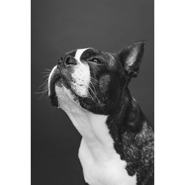 Black and white versions of my dog portraits are always a go-to in my opinion. They're included in every package I offer. Fancy a Mother's Day treat? Yeah you do. Check out my latest blog post (link in bio). - - - - - - - #dogphotographerlondon #bostonterrier #photooftheday #dogportrait #lightroom #photoshop #dog #dogsofinstagram #pixapro #nikon #studio #studiophotography #tethertools #sigmaart #bostie #london #londonphotography #bostons #bostonterrierlove #bostonterriernation #bostonsofinstagram #kennelclubuk #thekennelclubuk