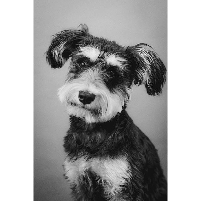 This is lovely lady Poncho who came to my studio recently - - - - - - #dogsofinstagram  #dog  #dogportrait  #dogphotography  #photooftheday  #portrait  #portraitphotography  #portrait_vision  #schnauzer  #schnauzersofinstagram  #schnauzerpuppy  #lightroom #pixapro  #photoshop  #tethertools  #nikon  #mothersday