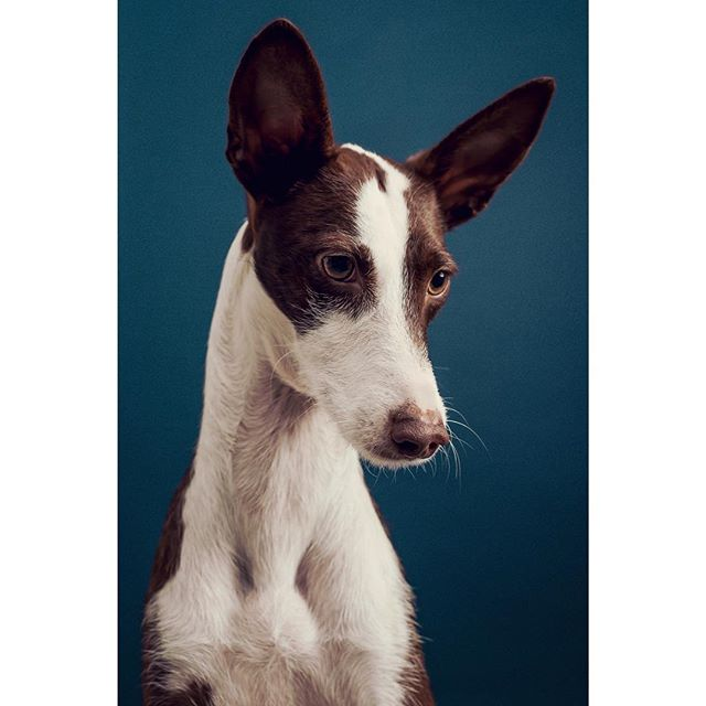 @kodak_the_pod (and family!) came to the studio as part of my giveaway shoot. Kodak, a beautiful Podenco, and her new brother are a delight - thanks for coming 🥂 - - - - - - - #photooftheday #kodakmoments #adoptdontshop #portraitphotography #dogs #dog #dogsofinstagram #podenco #podencolove #instapodenco #rescuedog #portrait #dogportrait #dogphotography #dogphotographerlondon #lightroom #photoshop