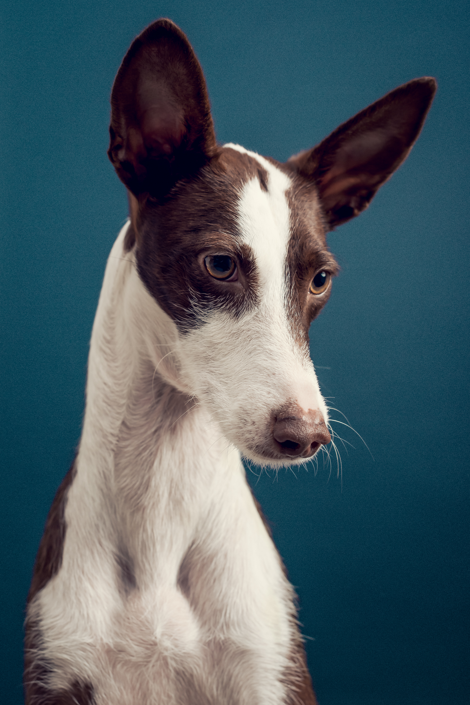 Podenco_Dog_Photography_London.jpg