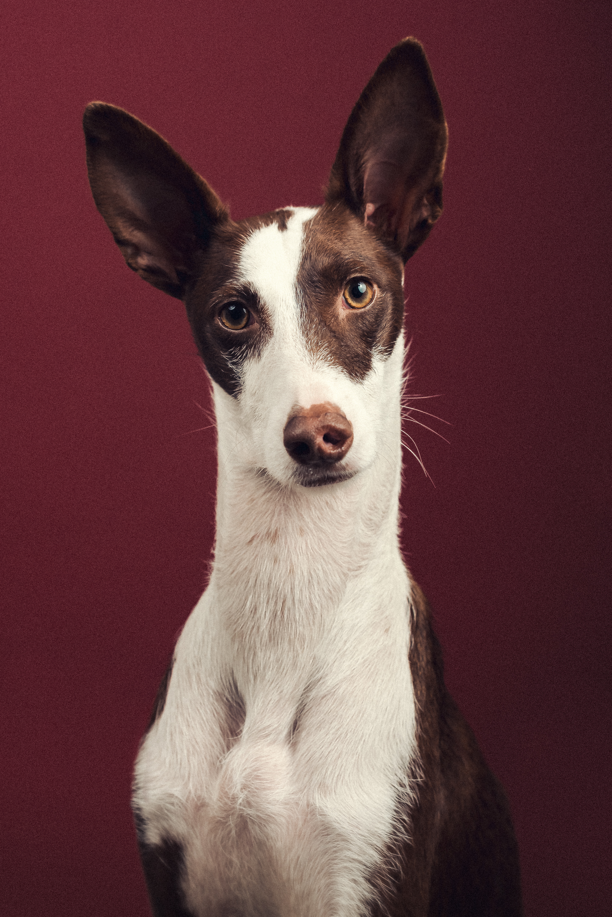 Podenco_Dog_Photographer_London.jpg