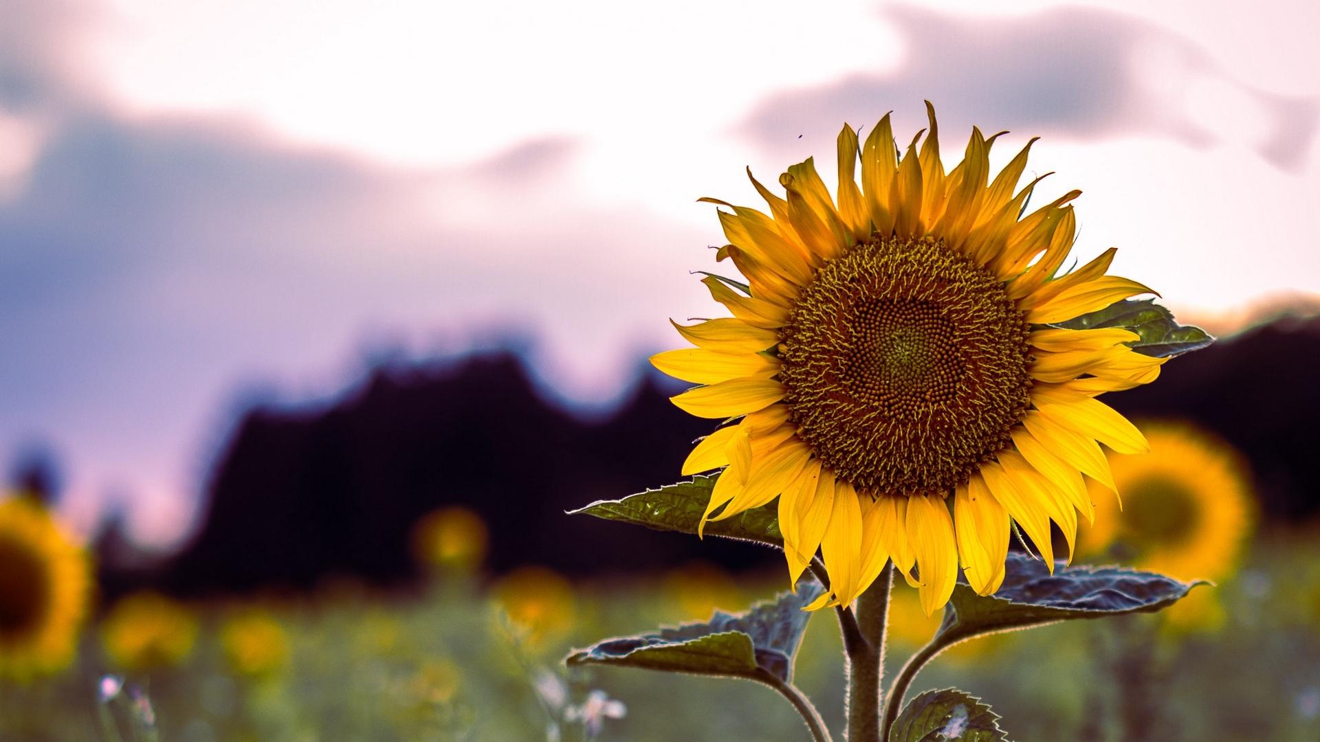sunflower_bloom_field_124639_1920x1080.jpg